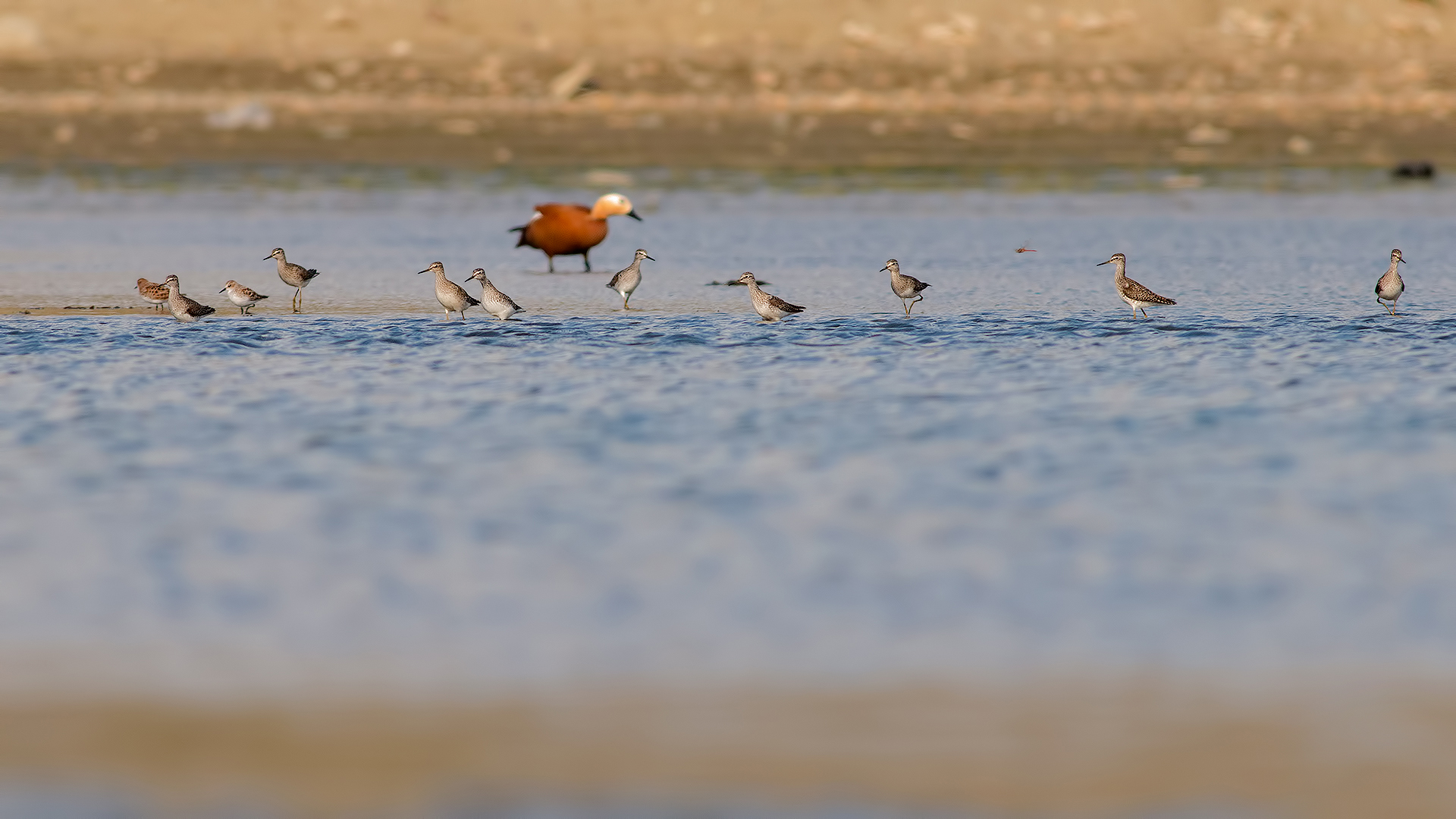 Wood sandpipers...