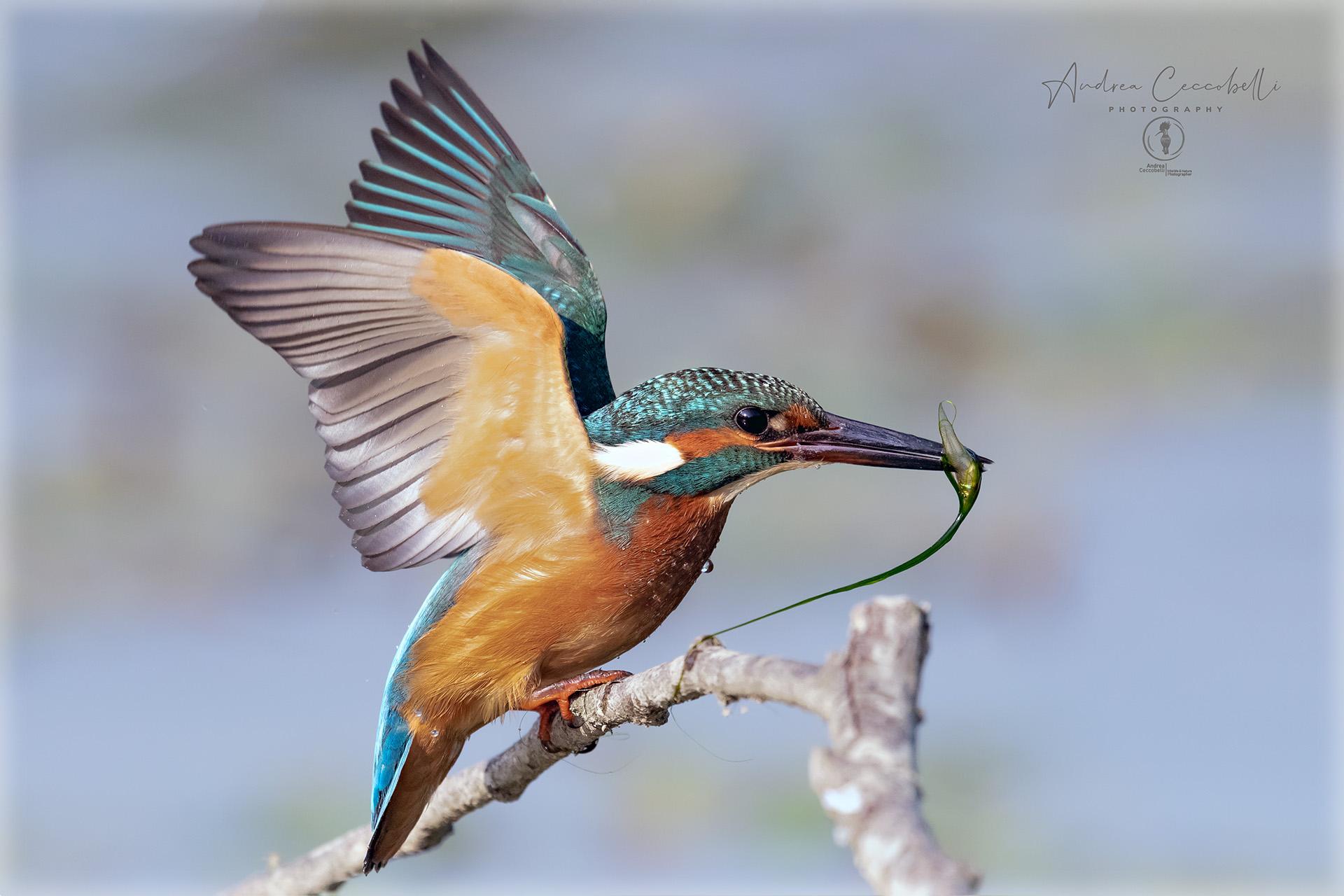 Kingfisher...