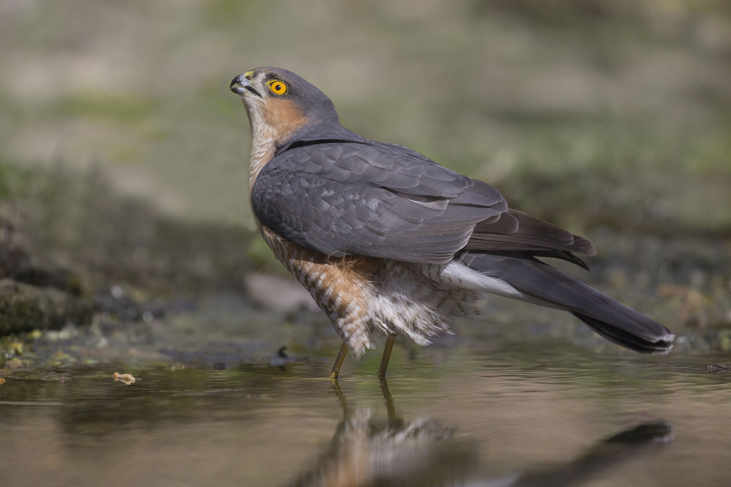 sparrowhawk to the watering...