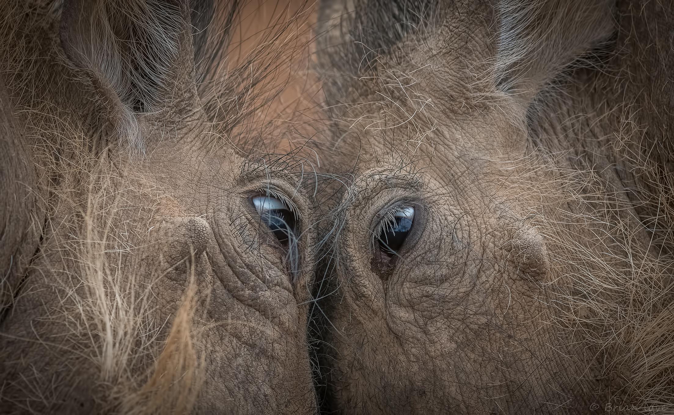 Eye to Eye - Dueling Warthogs...