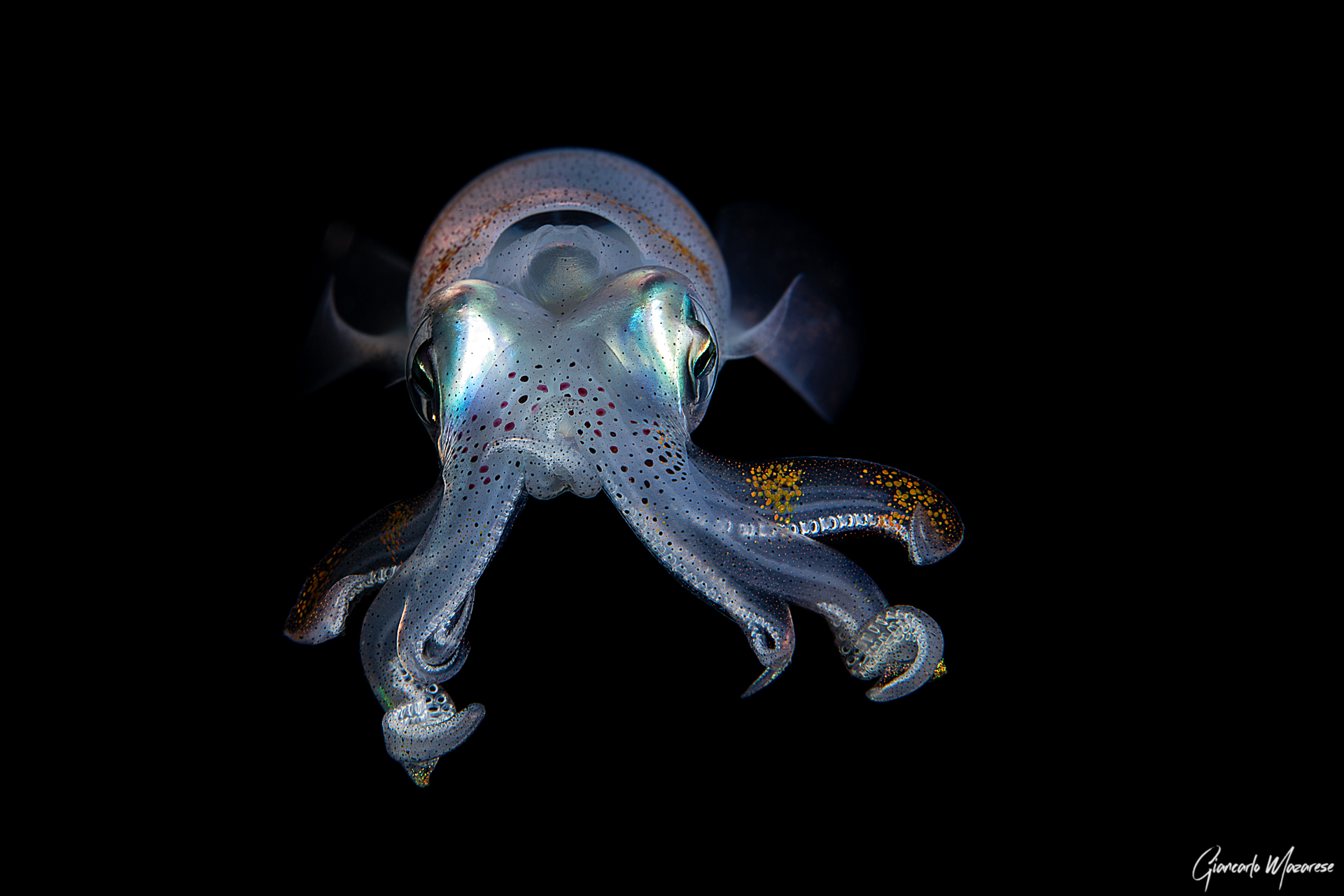 Squid - Sepioteuthis lessoniana...