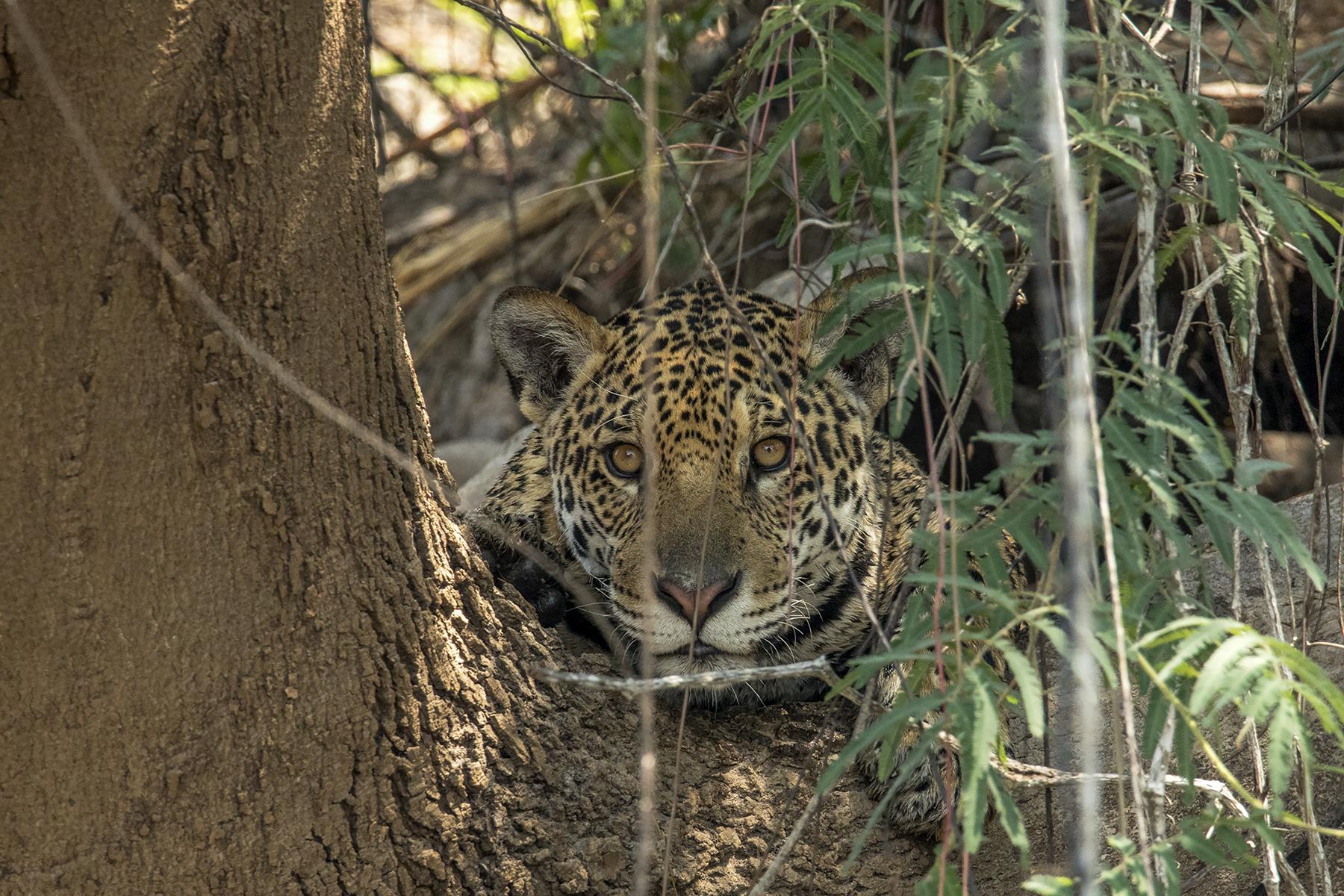 The Jaguar of the Pantanal...