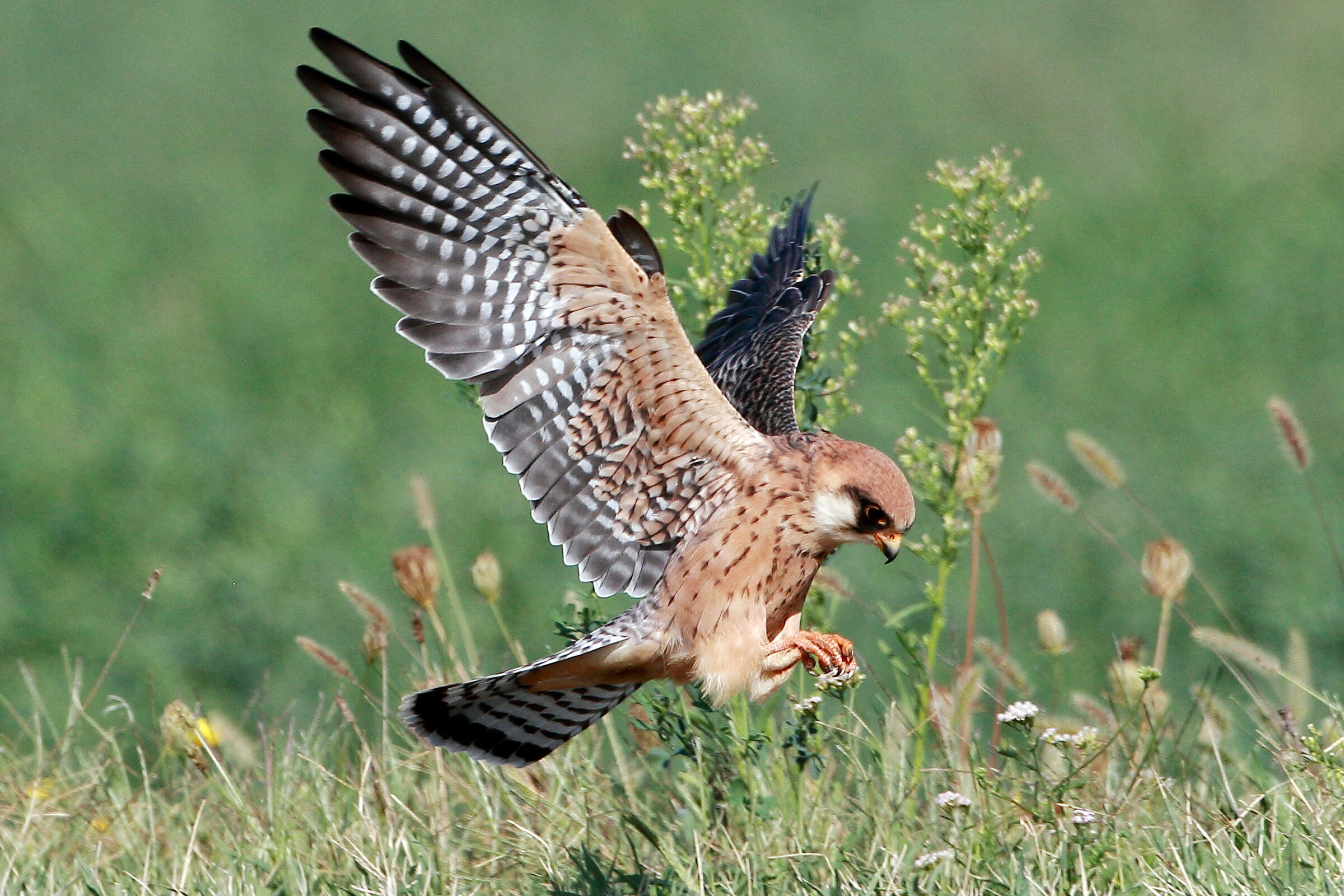 Ground attack (adult female cuckoo falcon)...