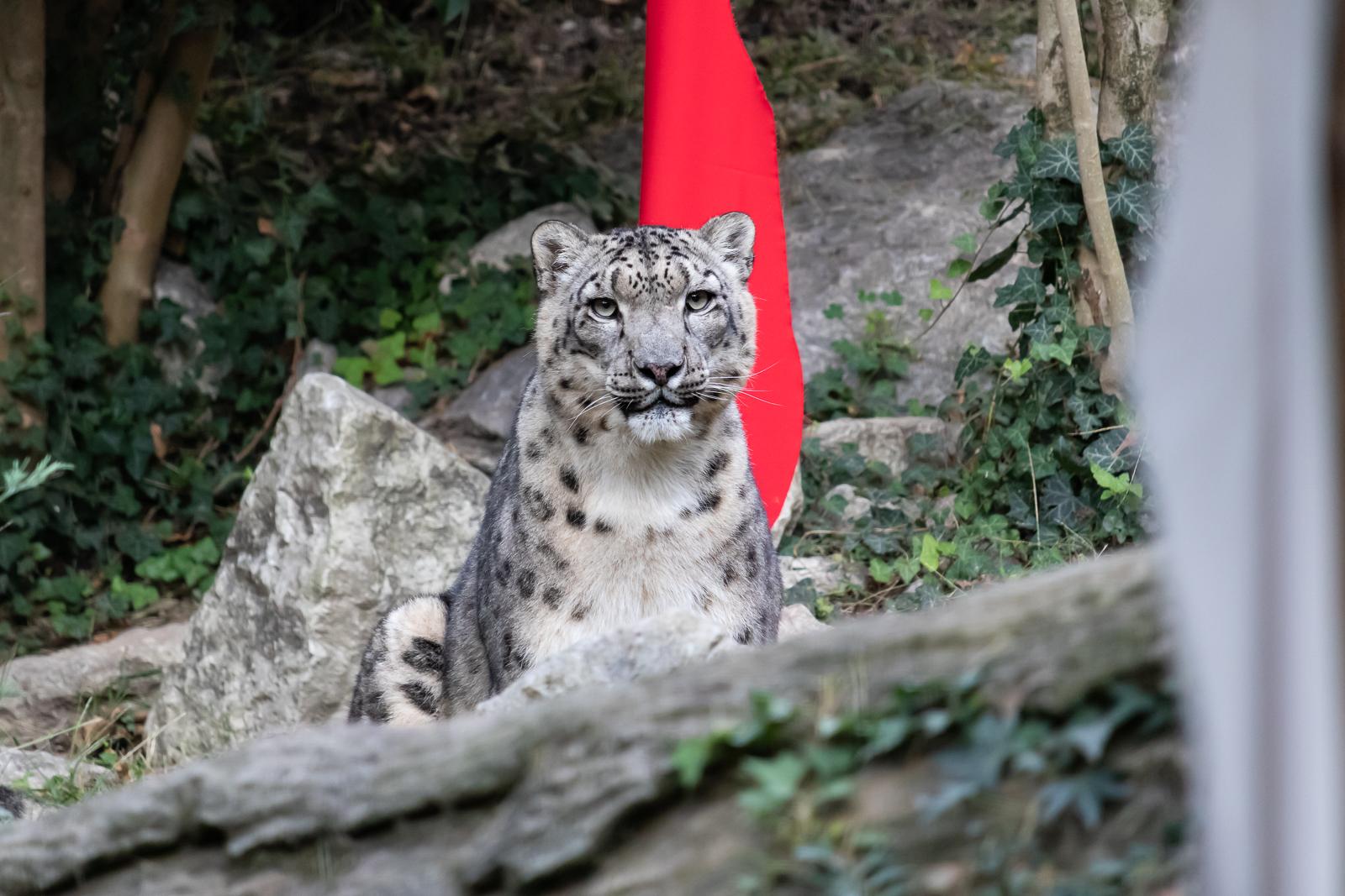 Leopardo delle nevi...