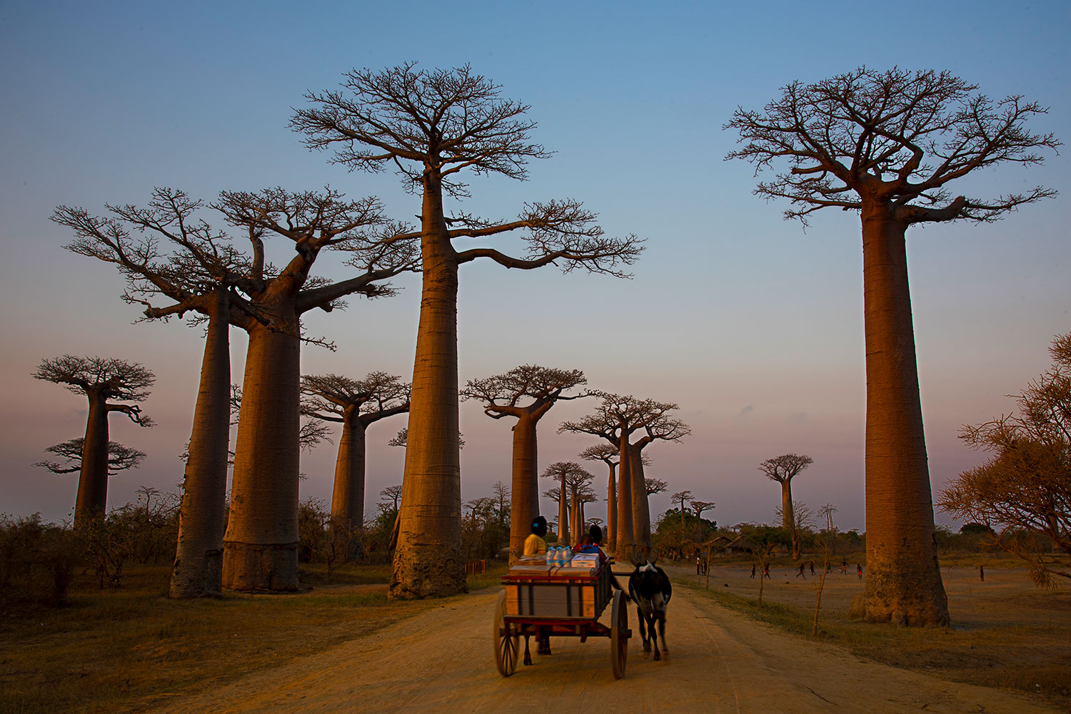Baobab Avenue at sunset - Madagascar ...