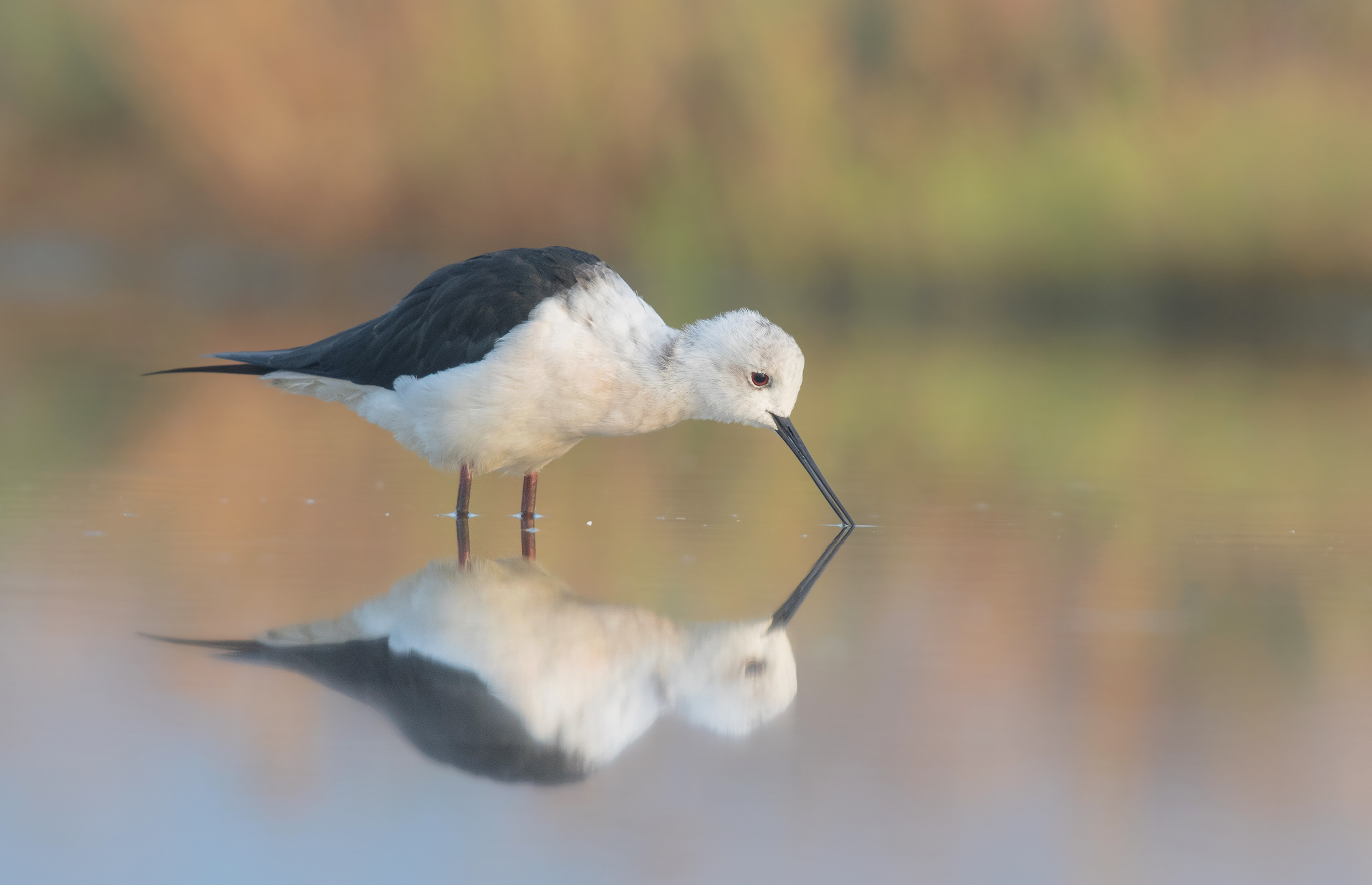 black winged stilt...