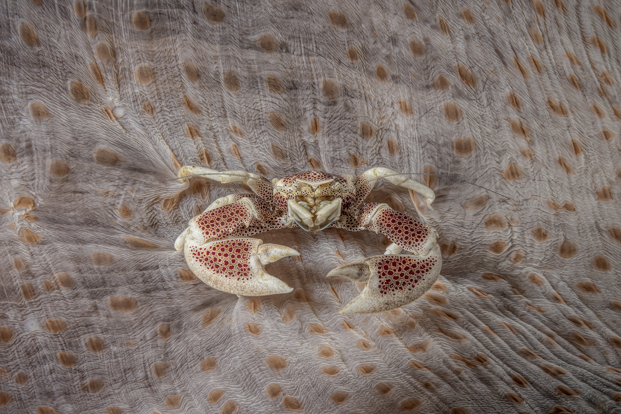 porcelain crab ...