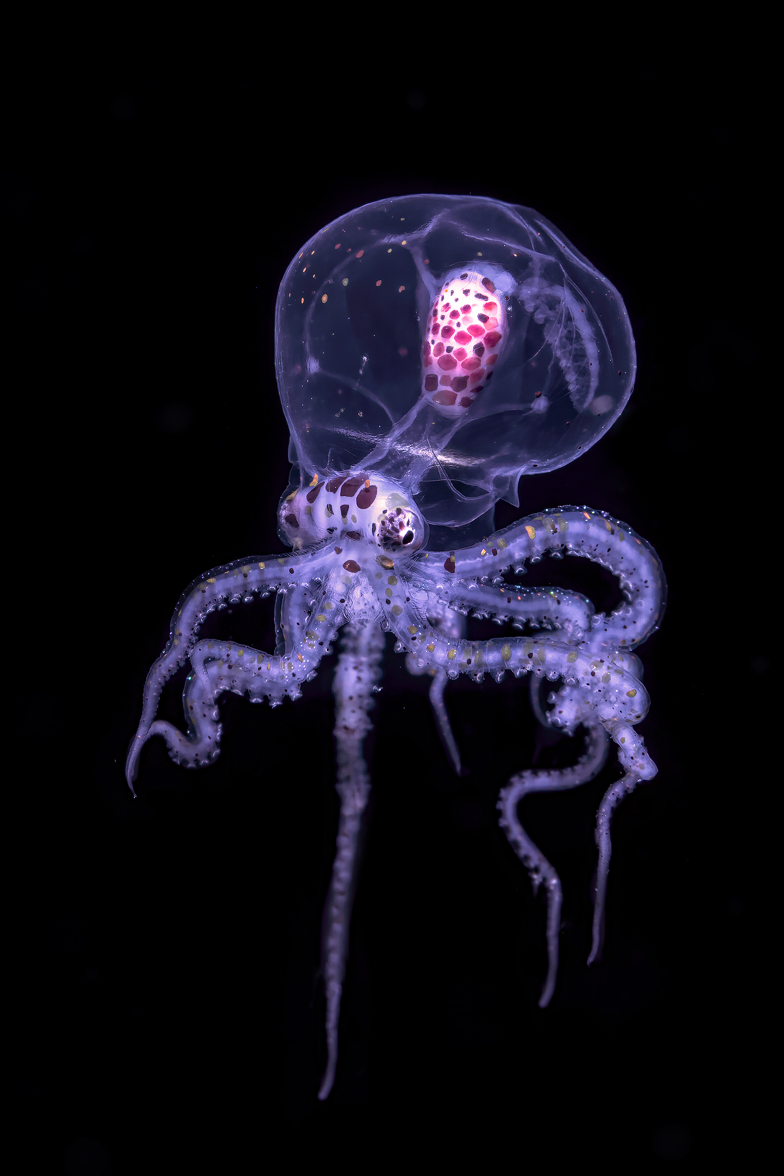 wunderpus photogenicus juvenile phase Janao bay, ...
