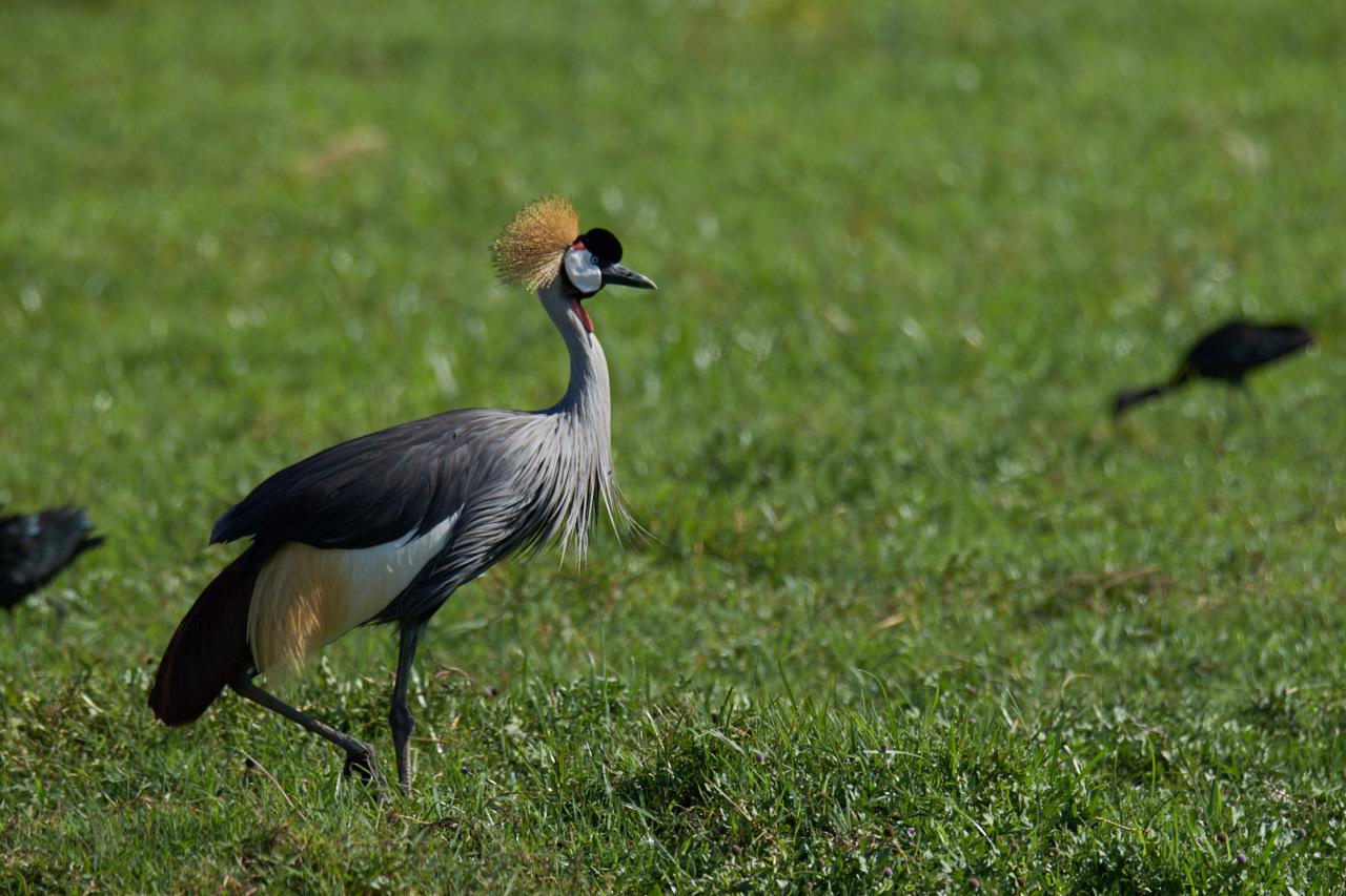Crowned crane...