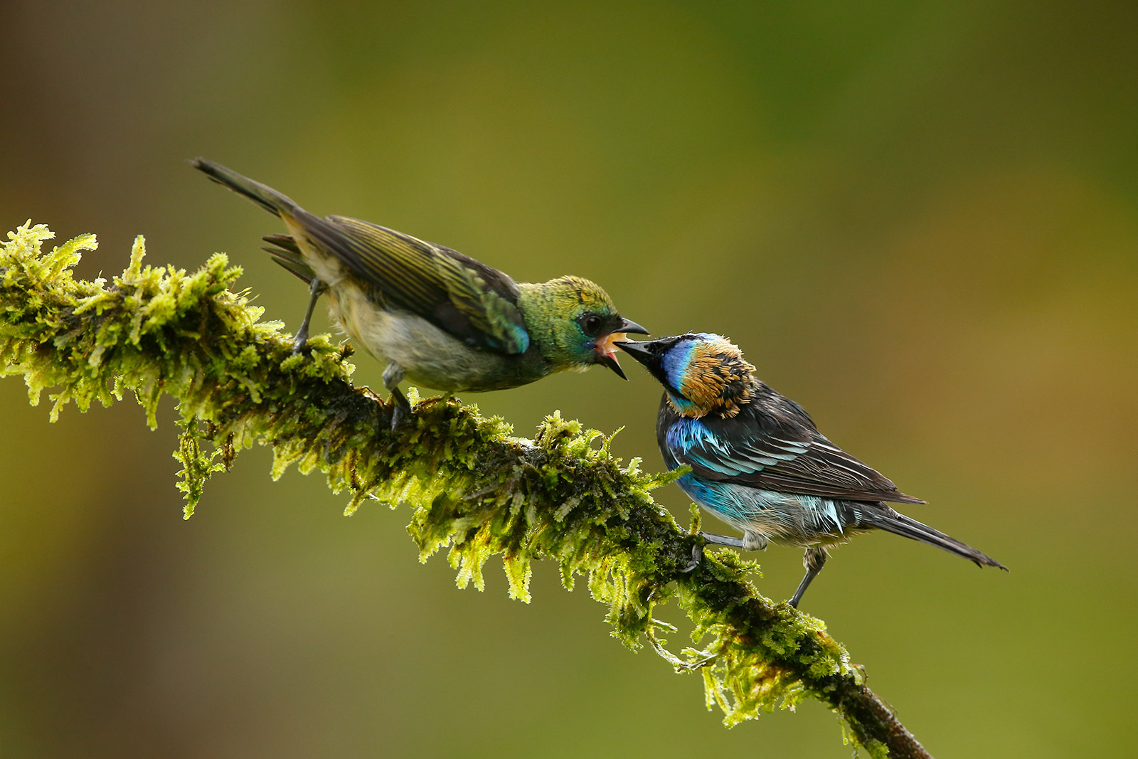 Golden Hooded Tanager and Juv...
