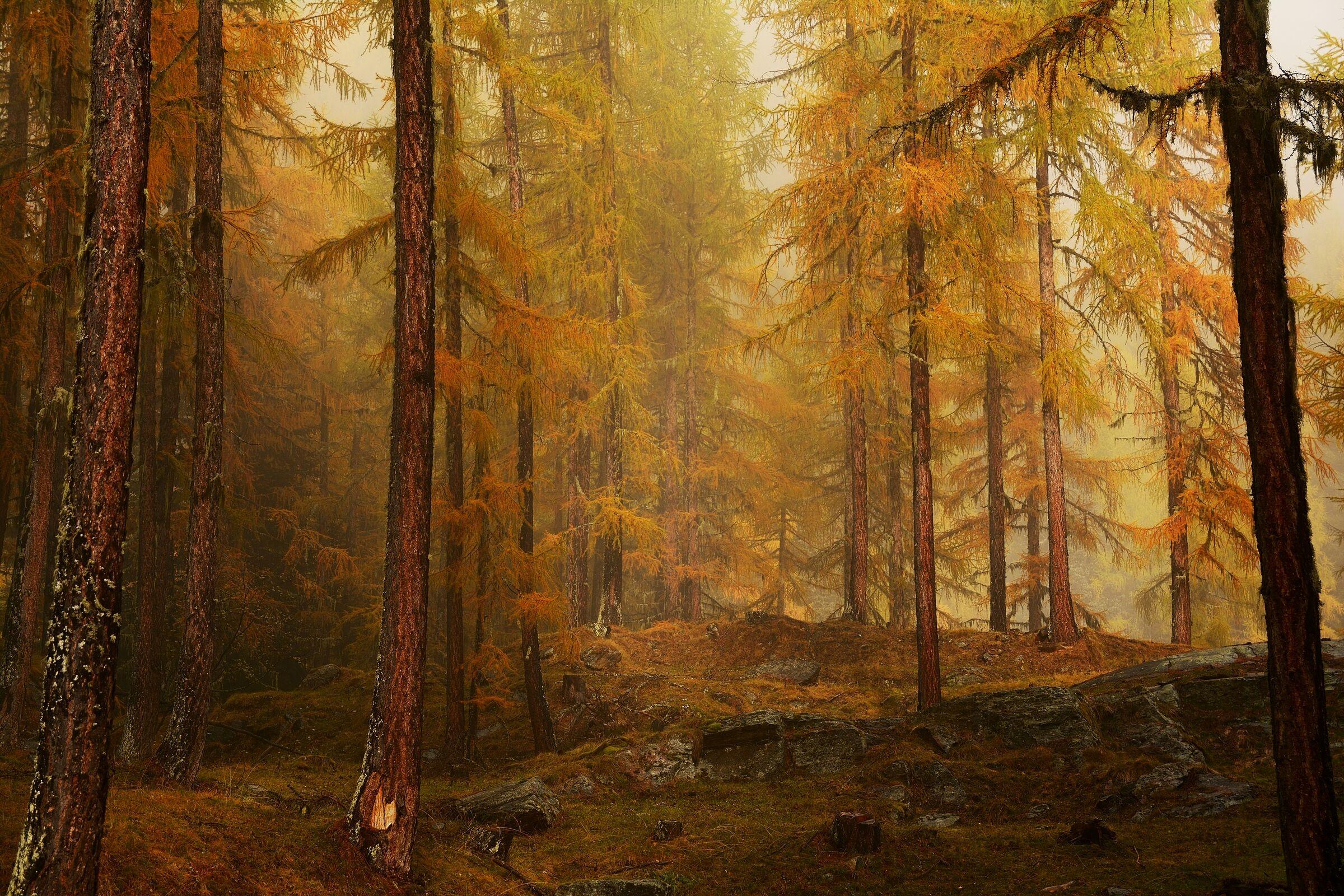 Larici in autumn....
