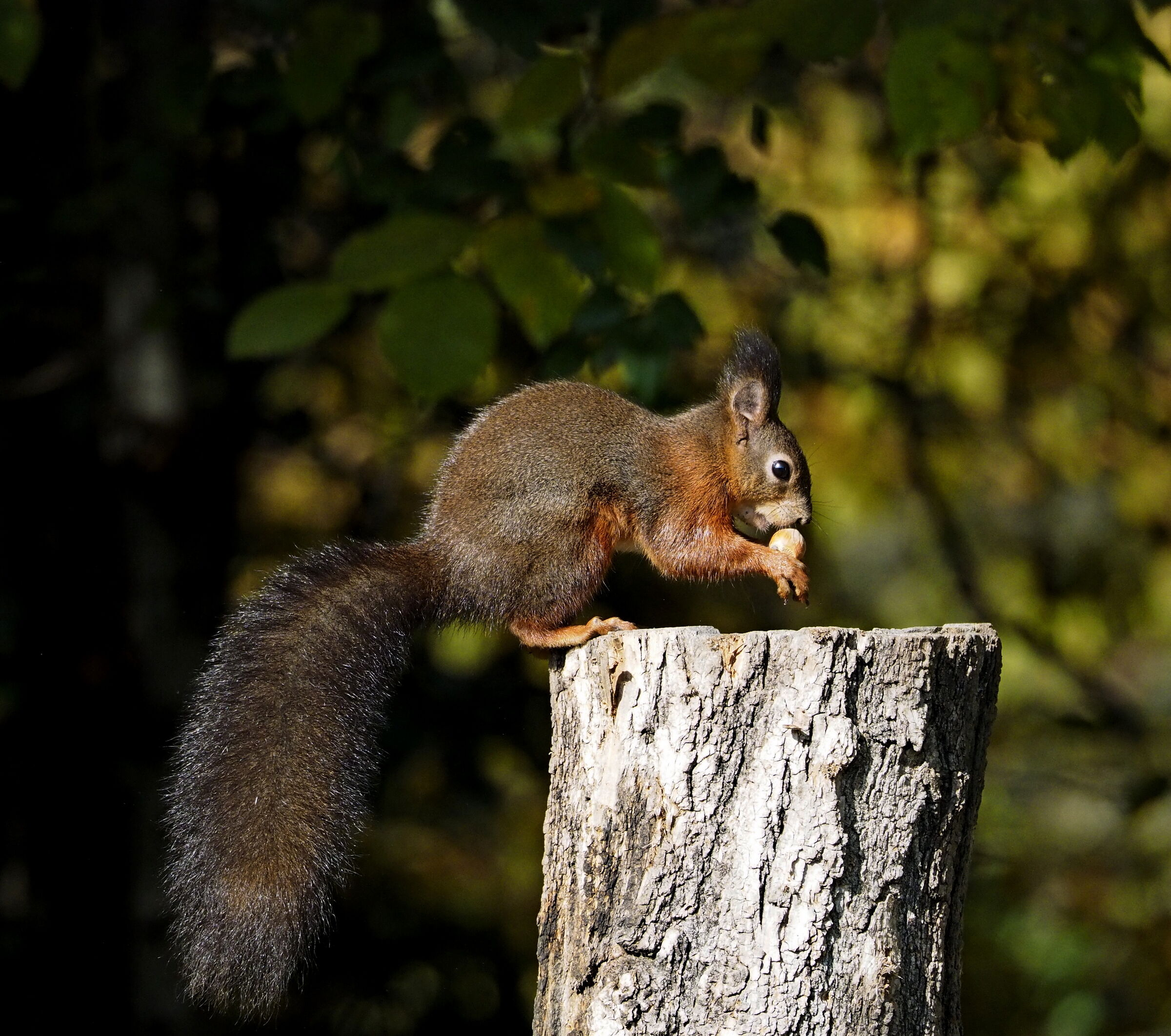 The Autumn of the Squirrel...