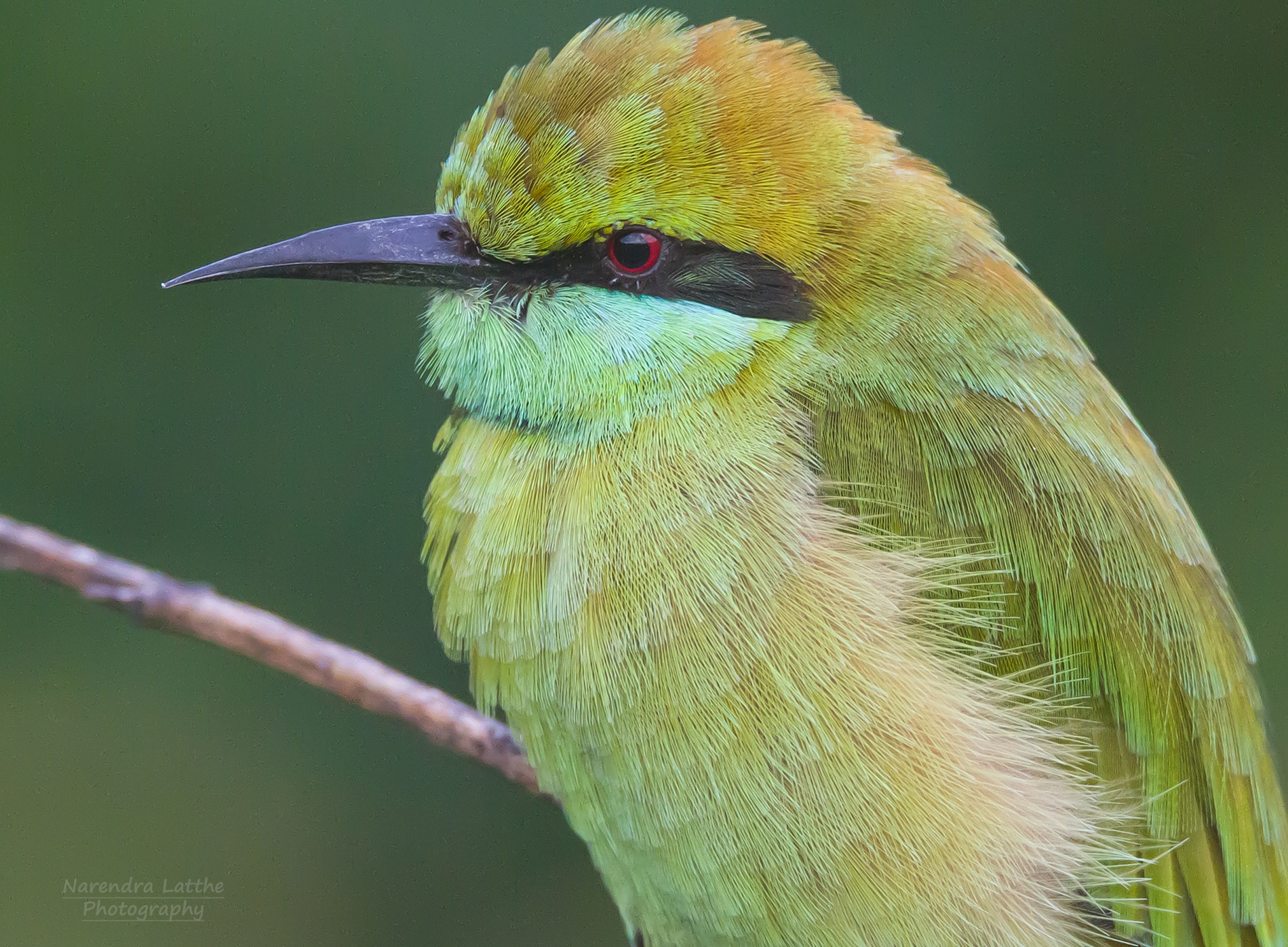 Green bee eater...