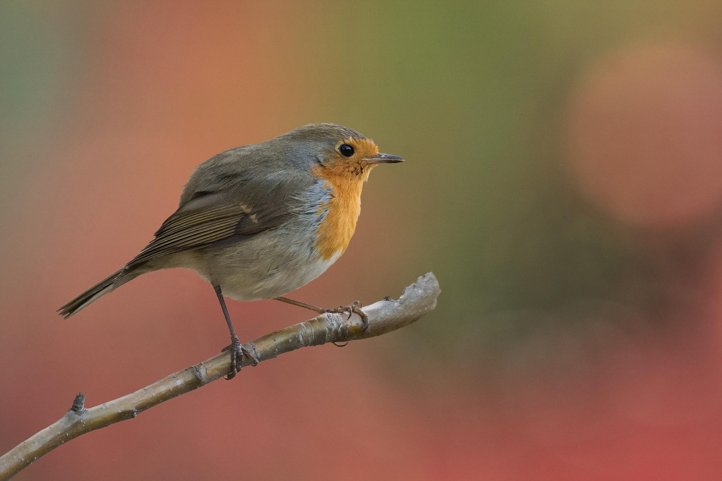 Robin is back...