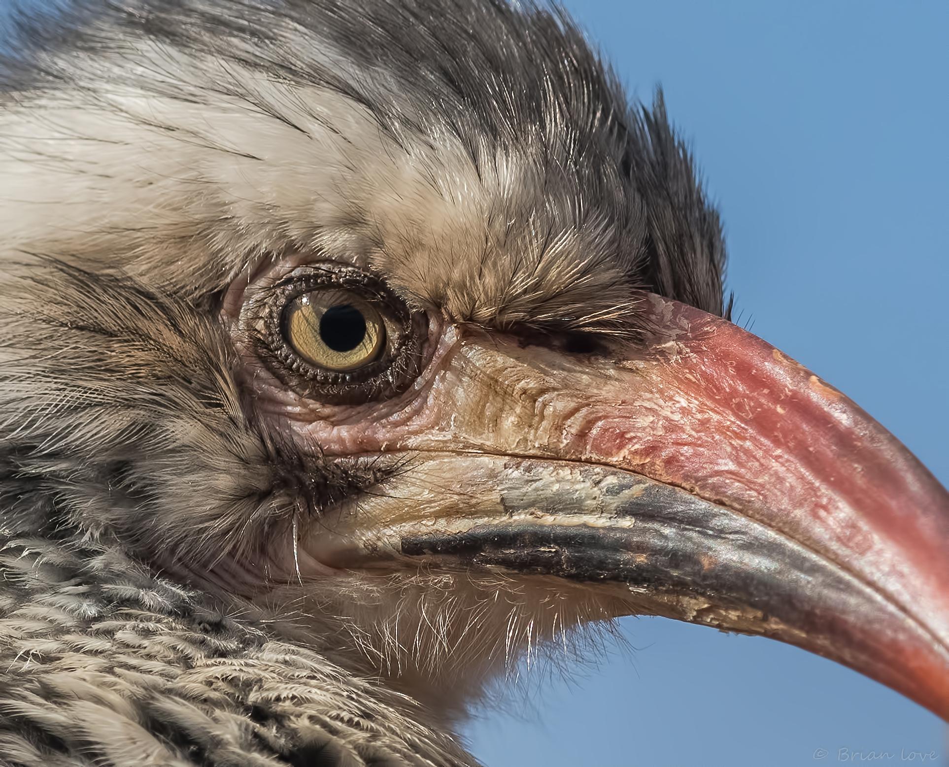 Red-billed hornbill (Tockus erythrorhynchus)...