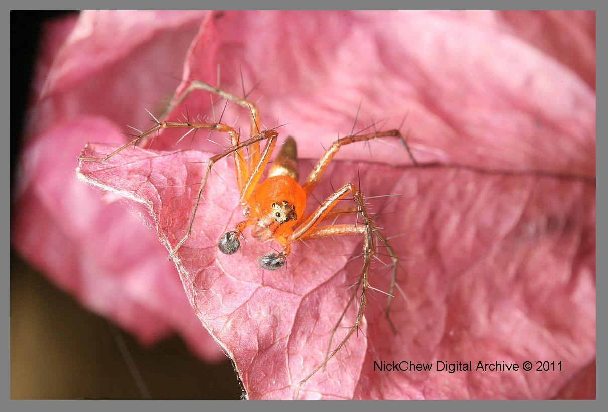 Lynx Spider...