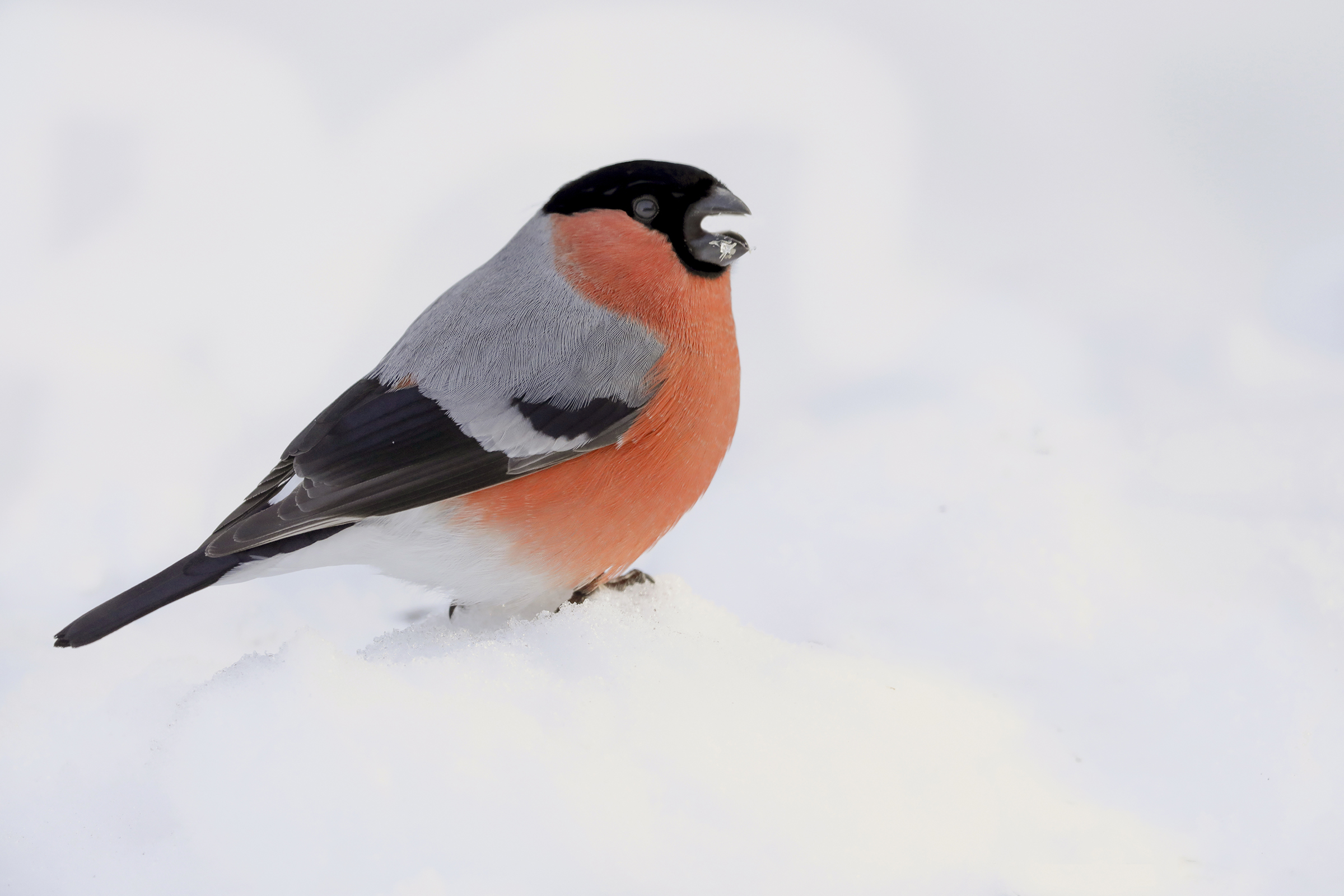 tufted in the snow...