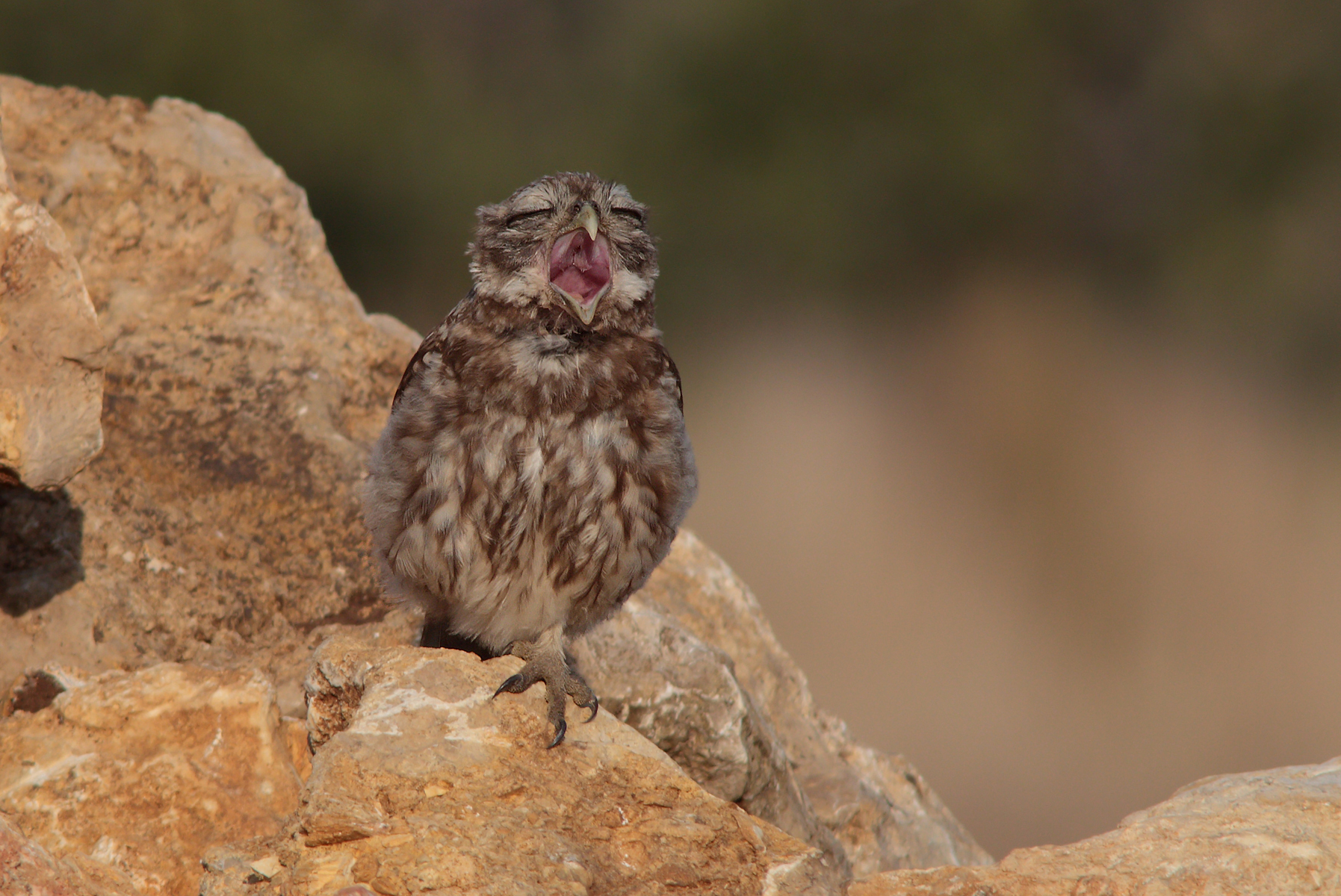 The yawn of the owl...