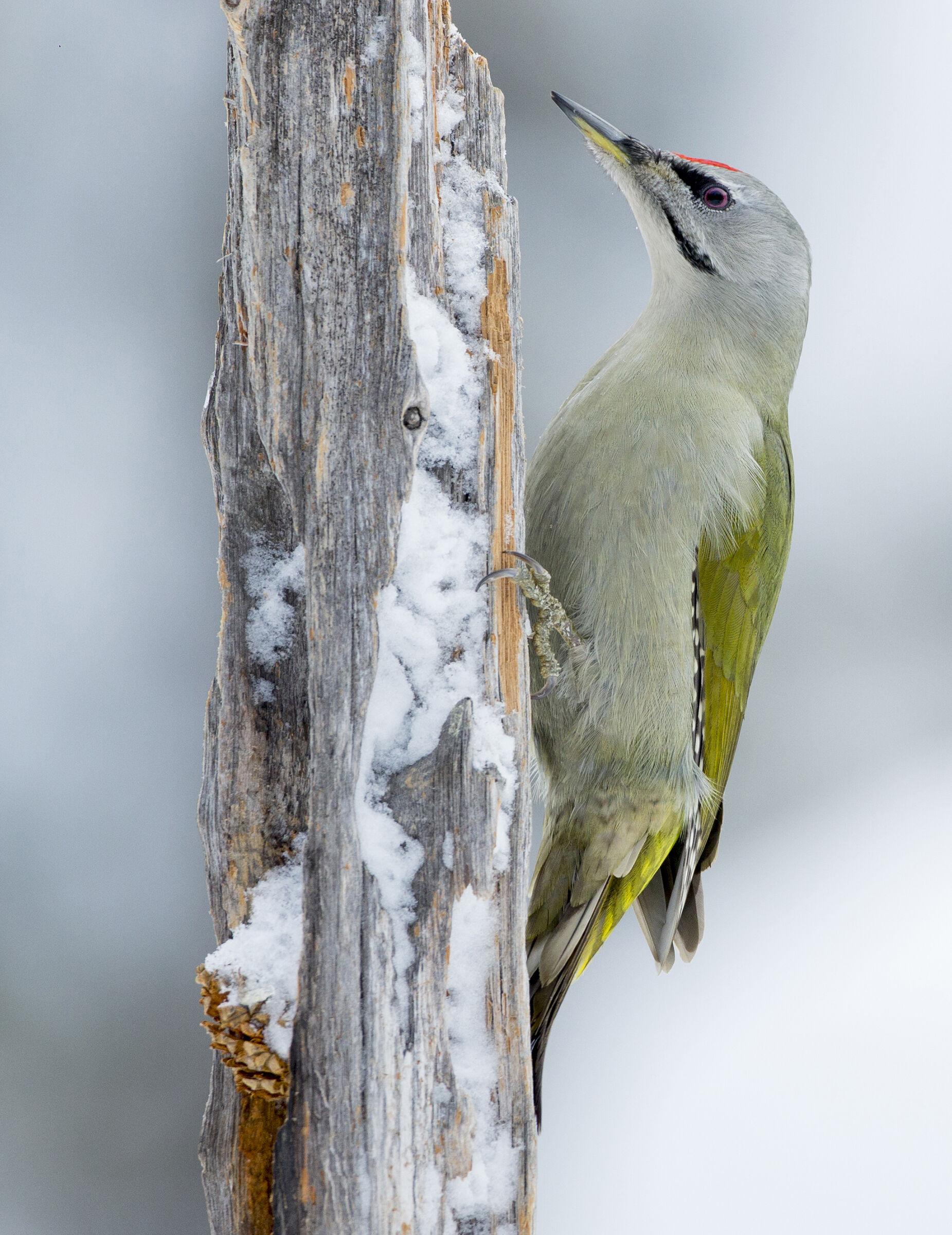 woodpecker ash...