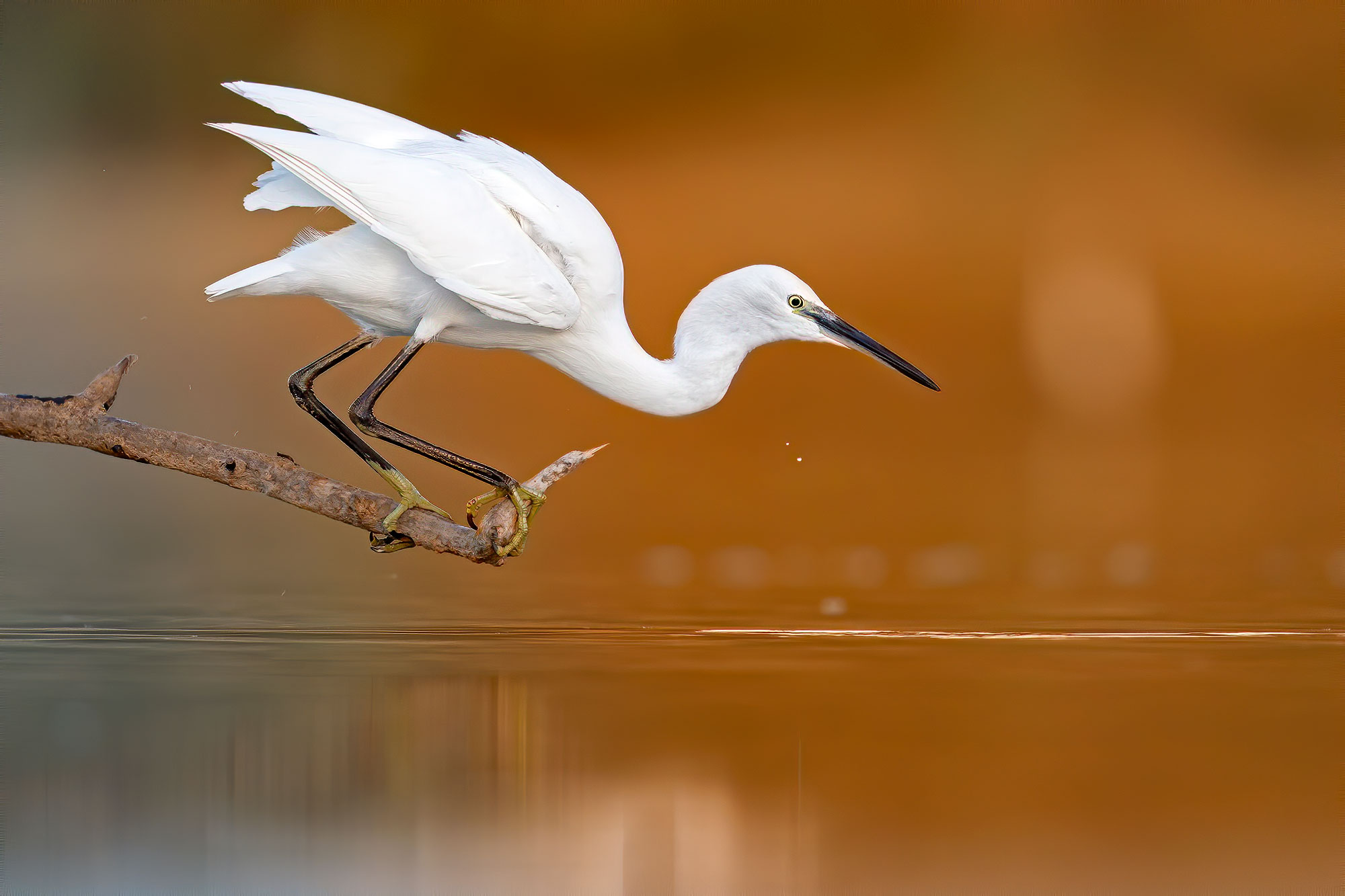 Egrets in hunting...