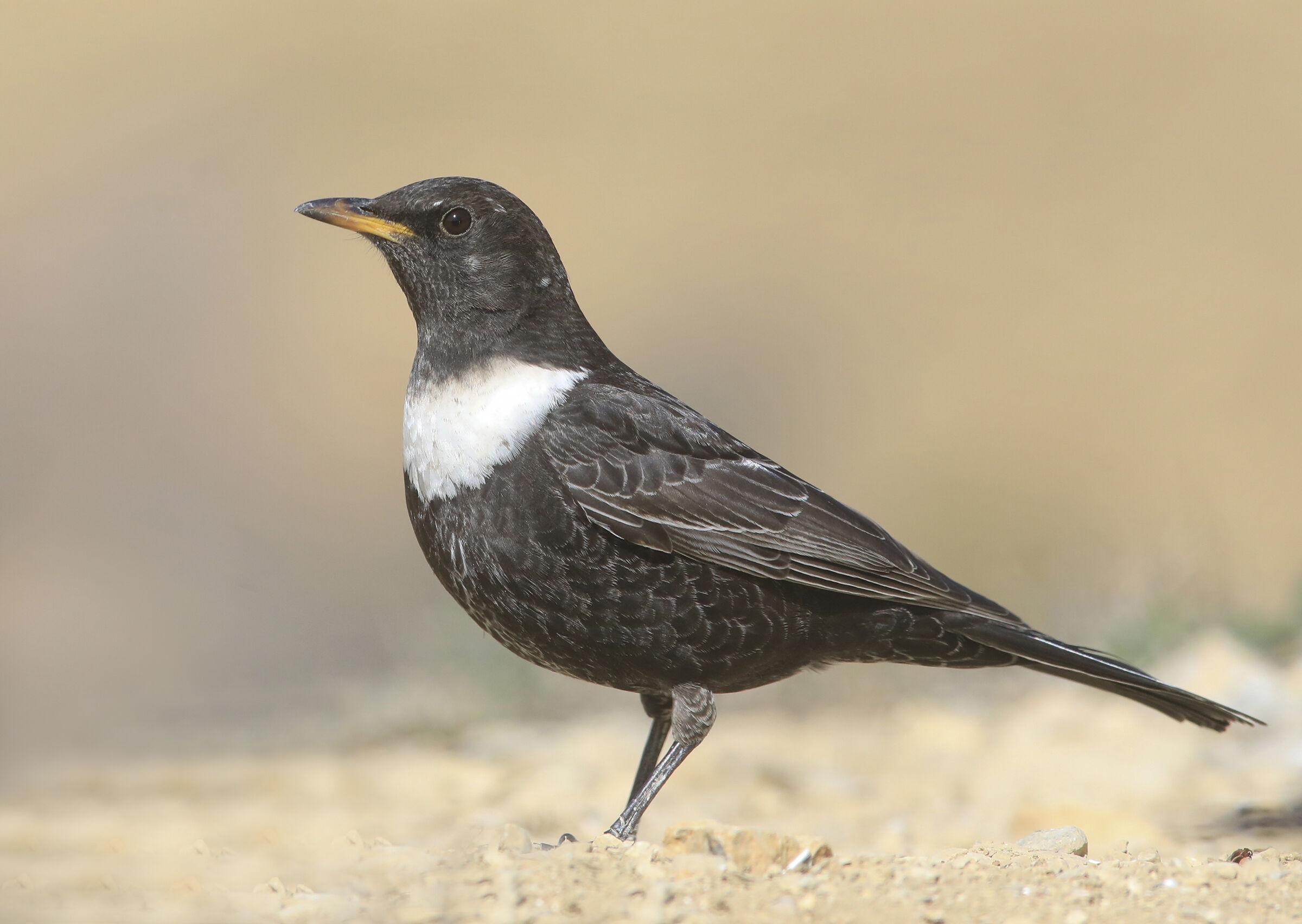 collared blackbird...
