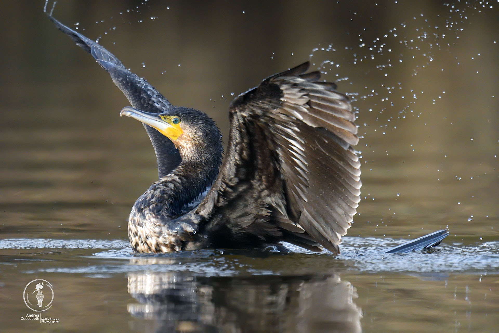 Cormorano - Phalacrocorax carbo...