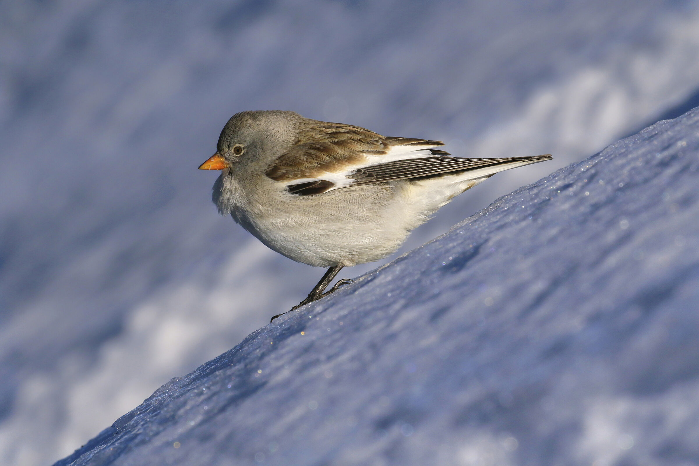 The alpine finch likes the steep...