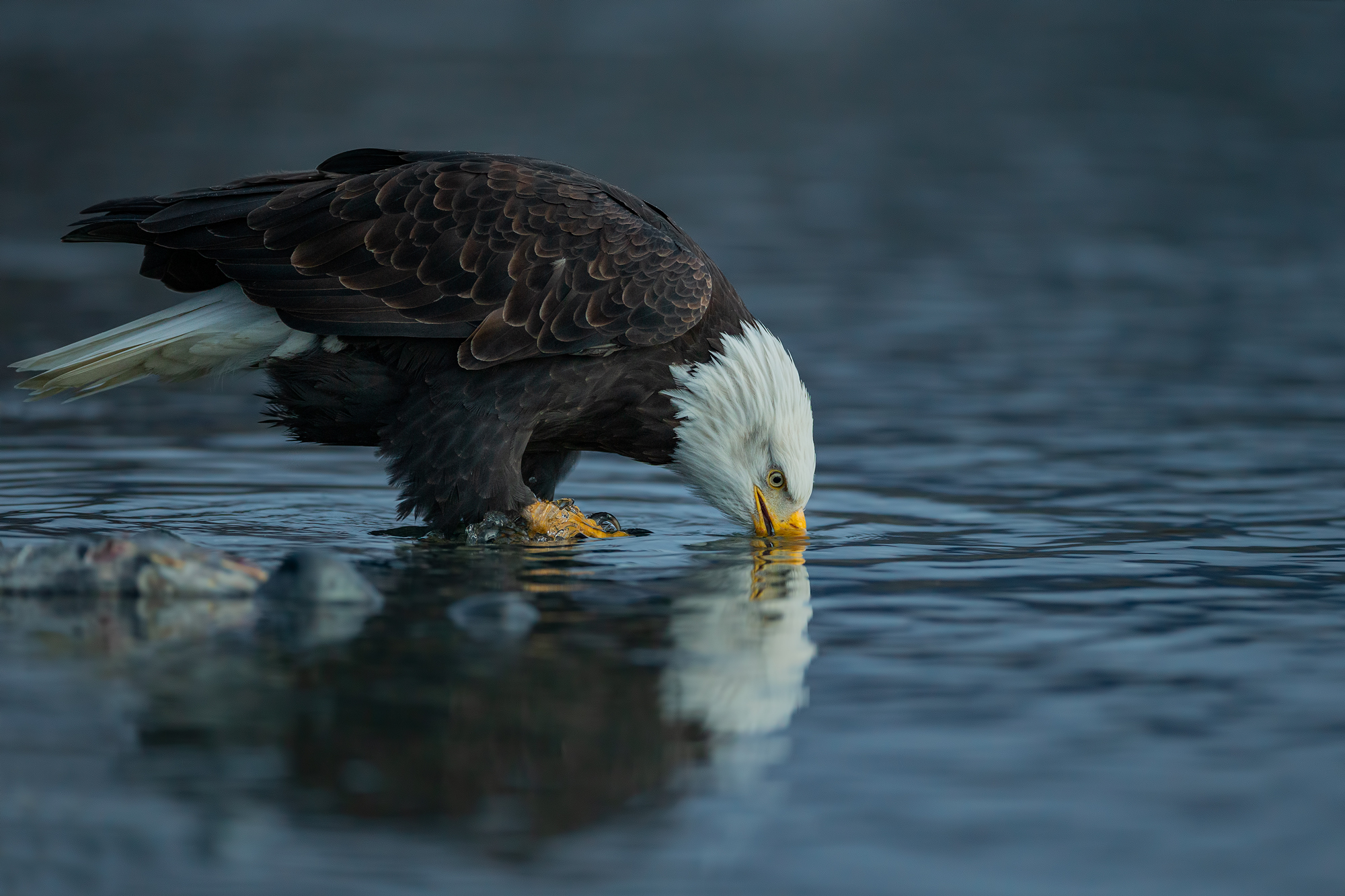 Bald eagle drink...