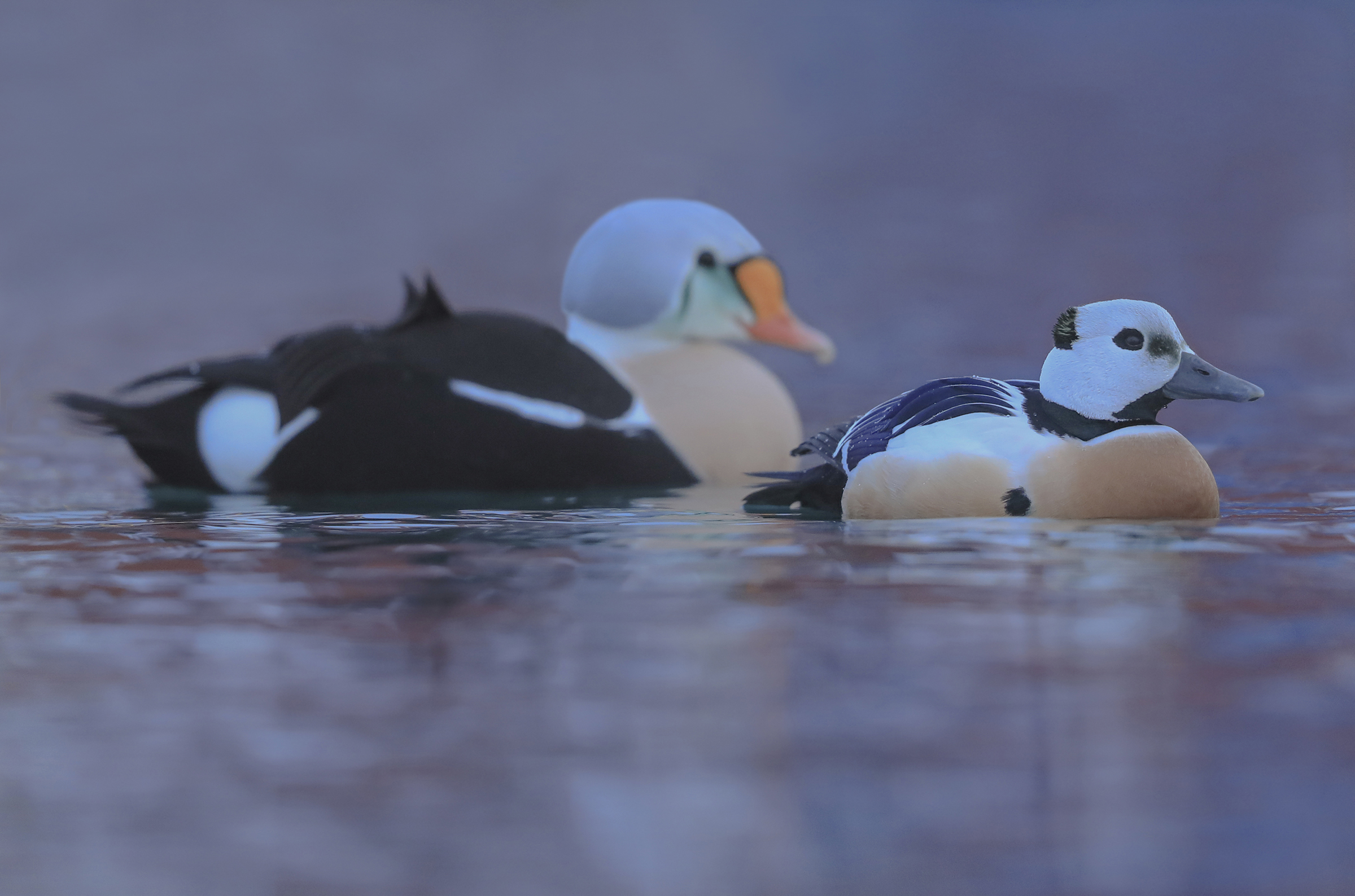 eider of steller with king of eiders...