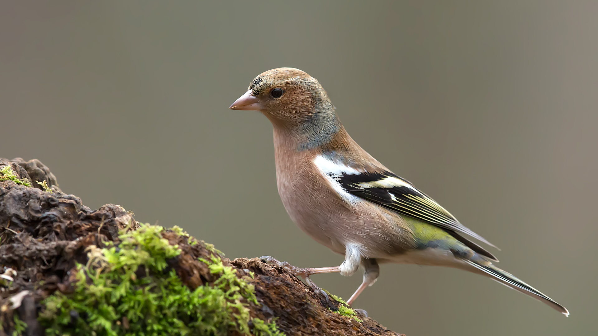 Common Chaffinch / Fringilla coelebs...