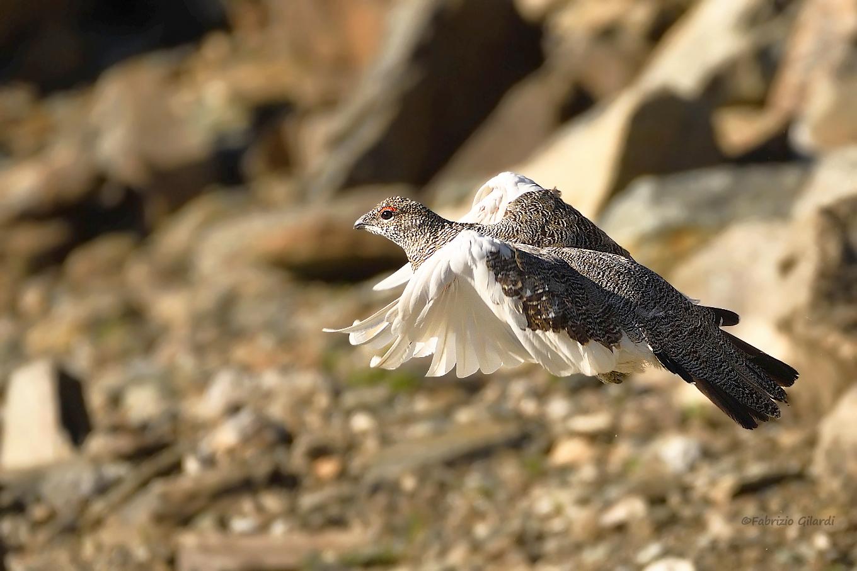 Mute Lagopus (White Partridge m.)...