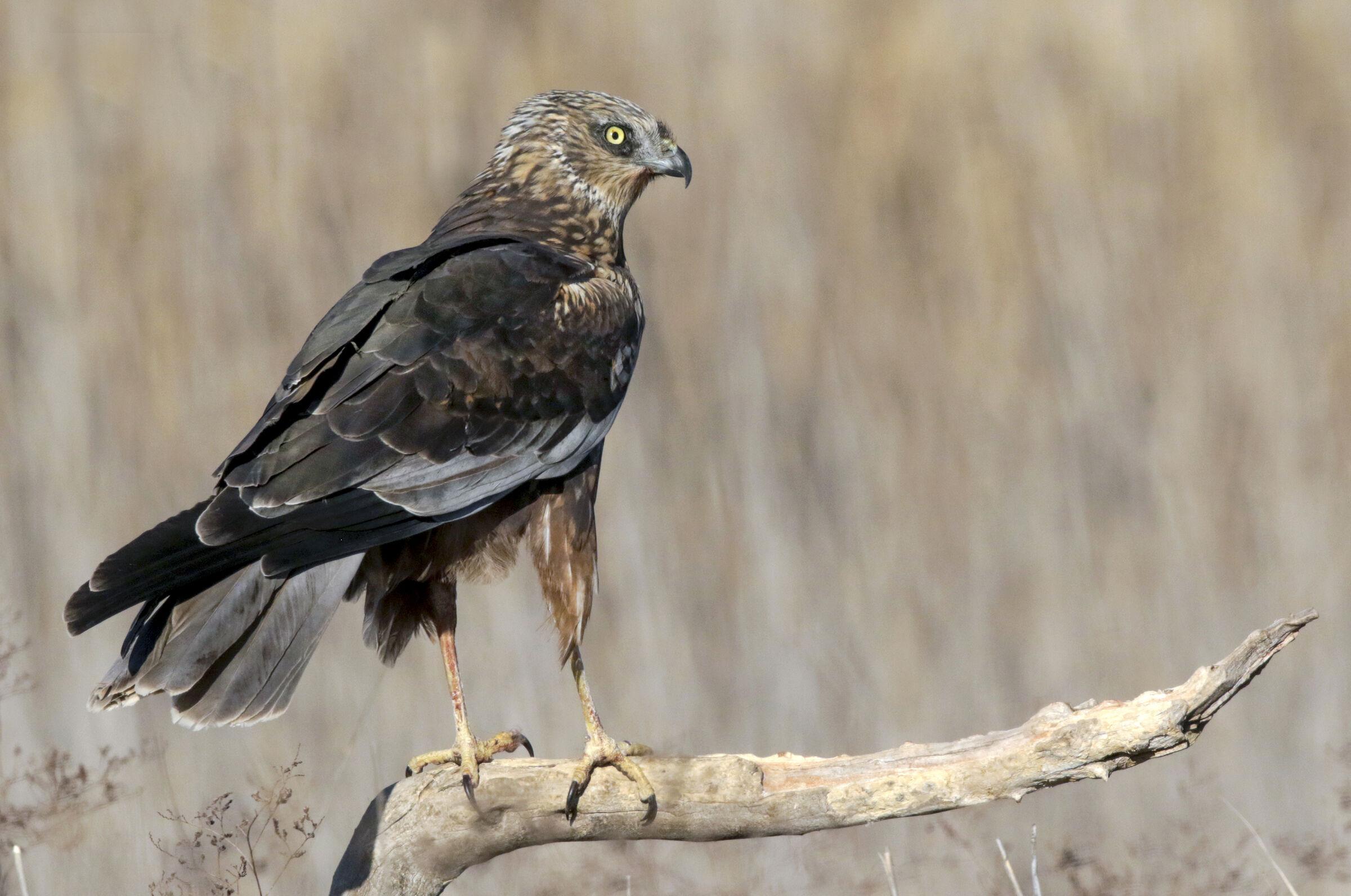 Male Marsh Falcon 2...