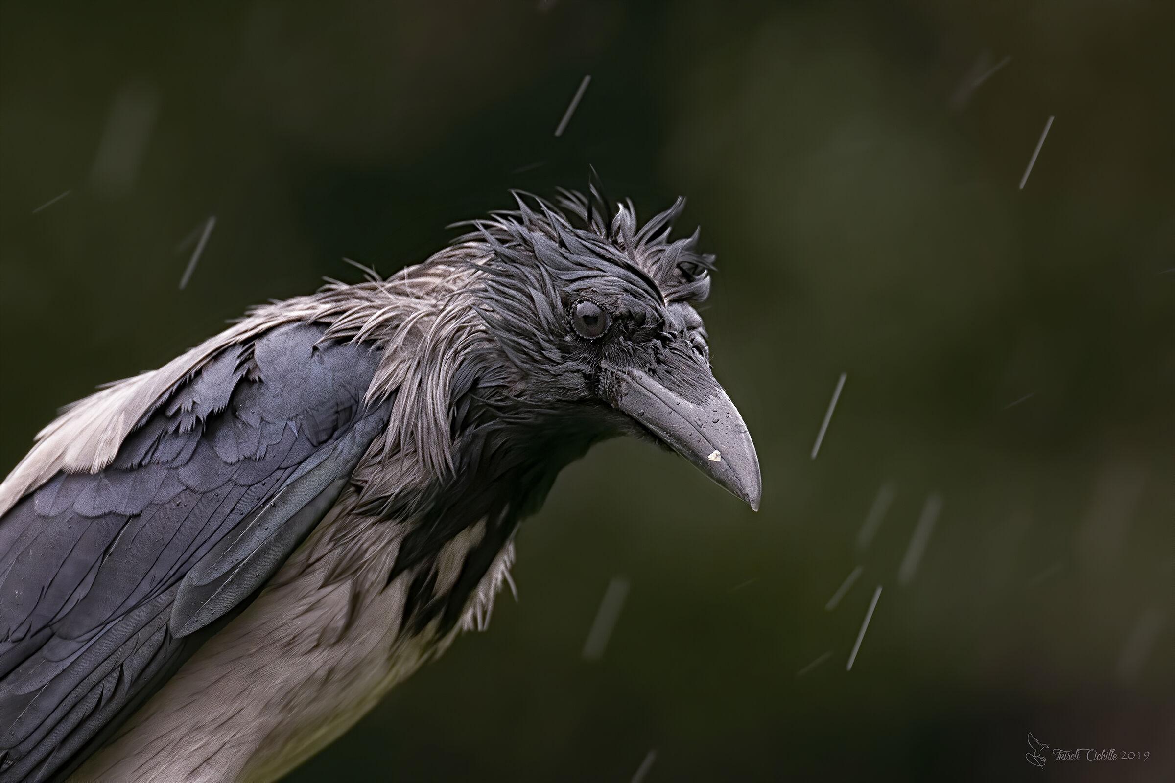 Crow...