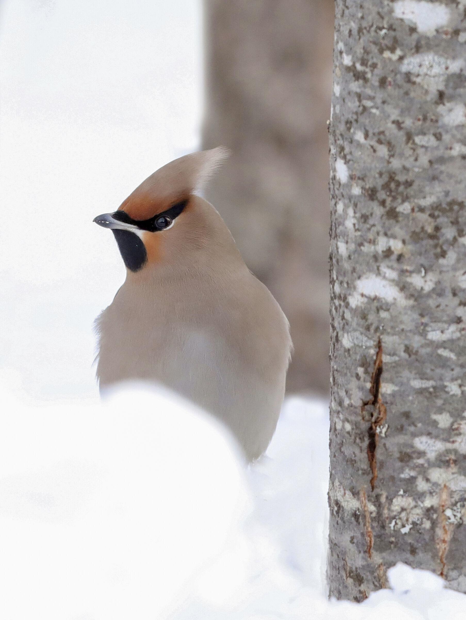 beak in the snow...