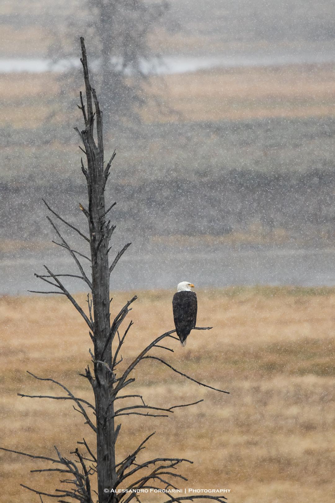 Bald Eagle...