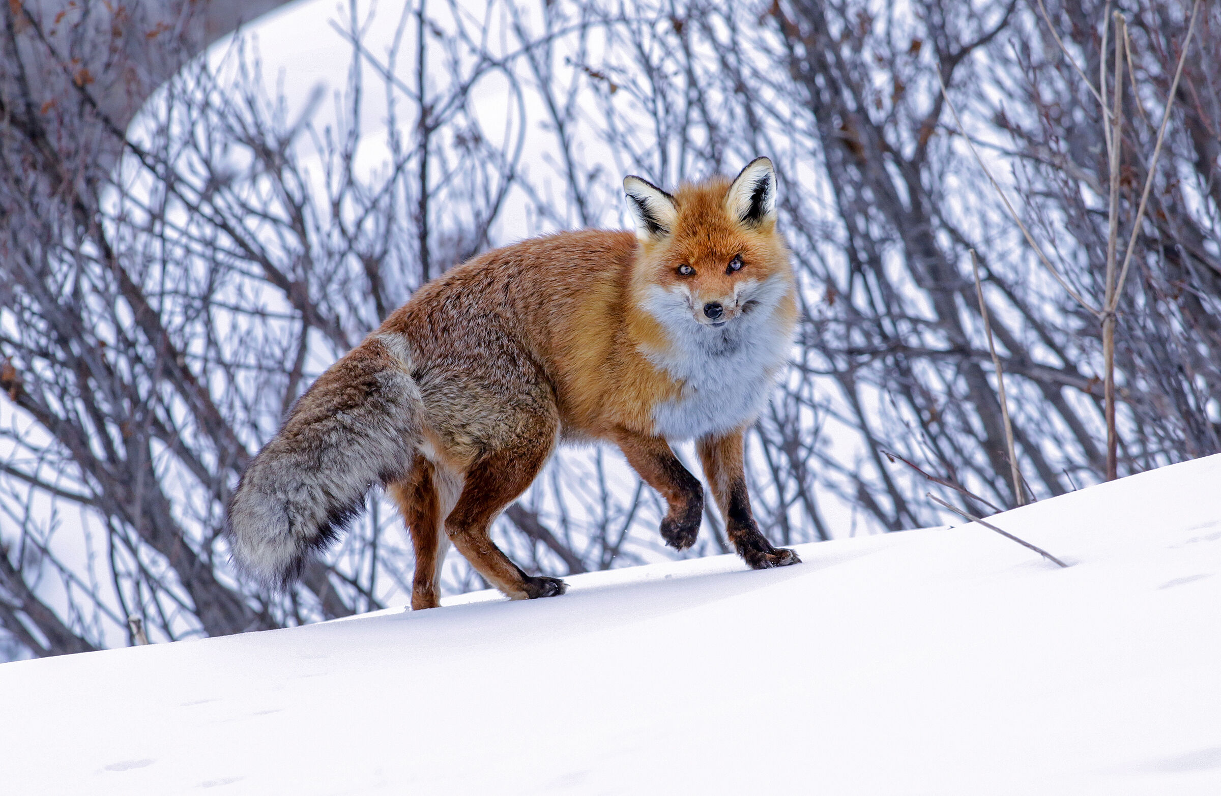 the fox and the snow...