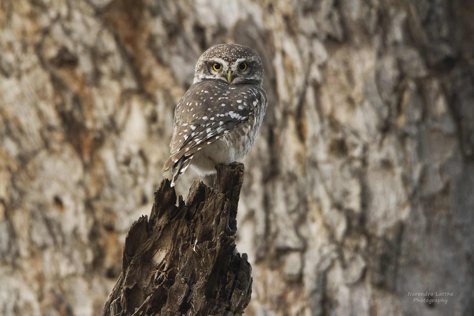 Spotted Owlet...