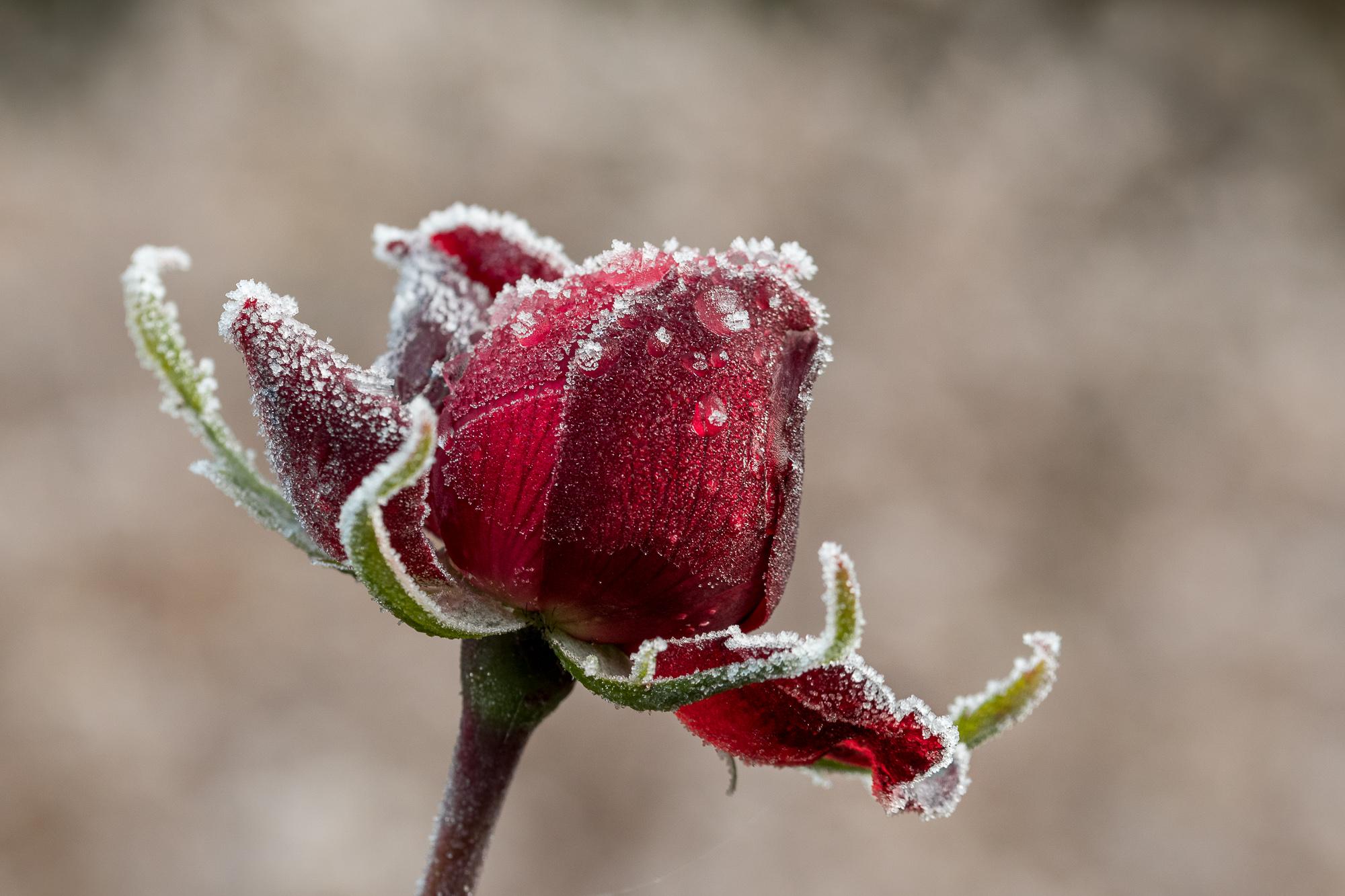 Winter Rose...