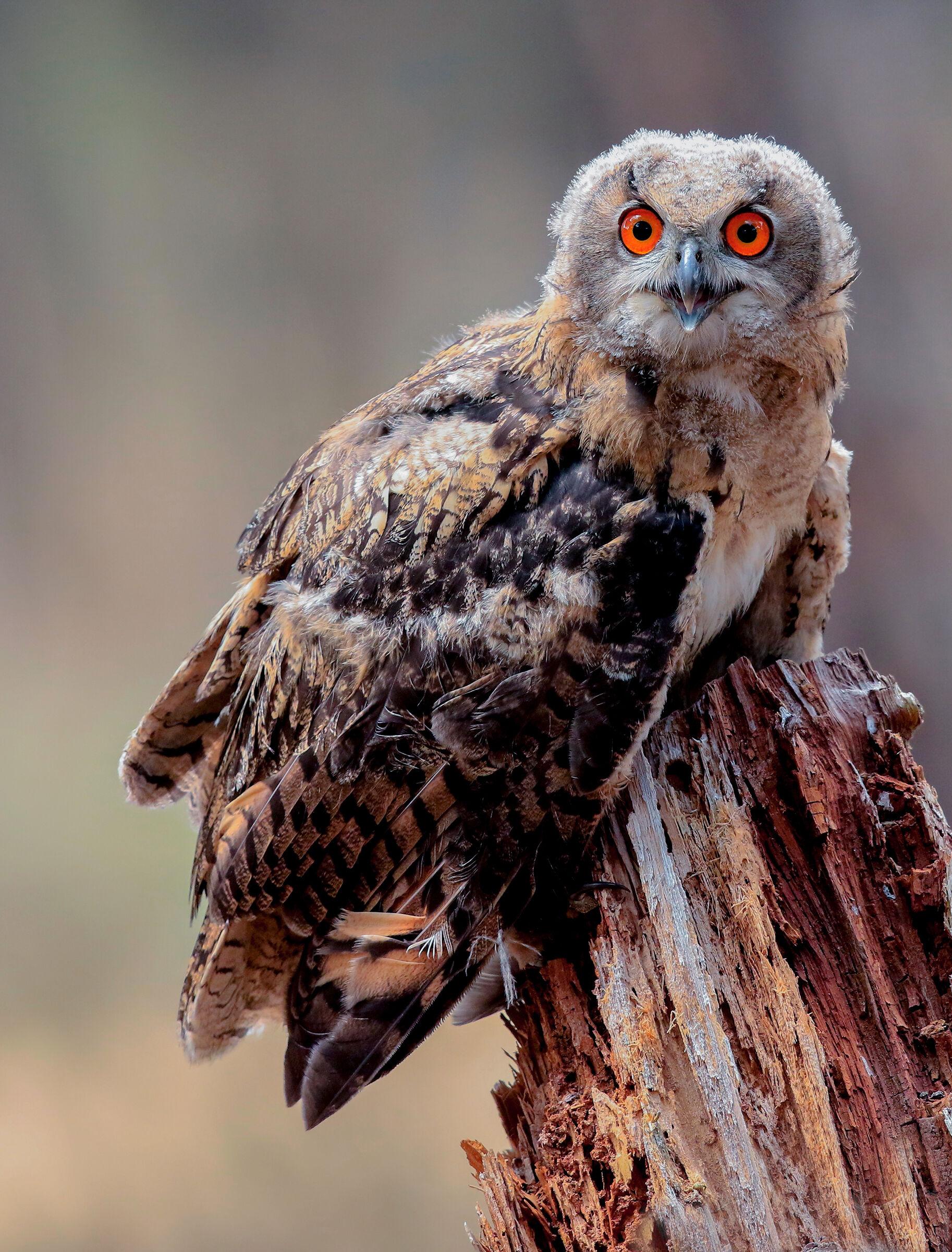 young royal owl...