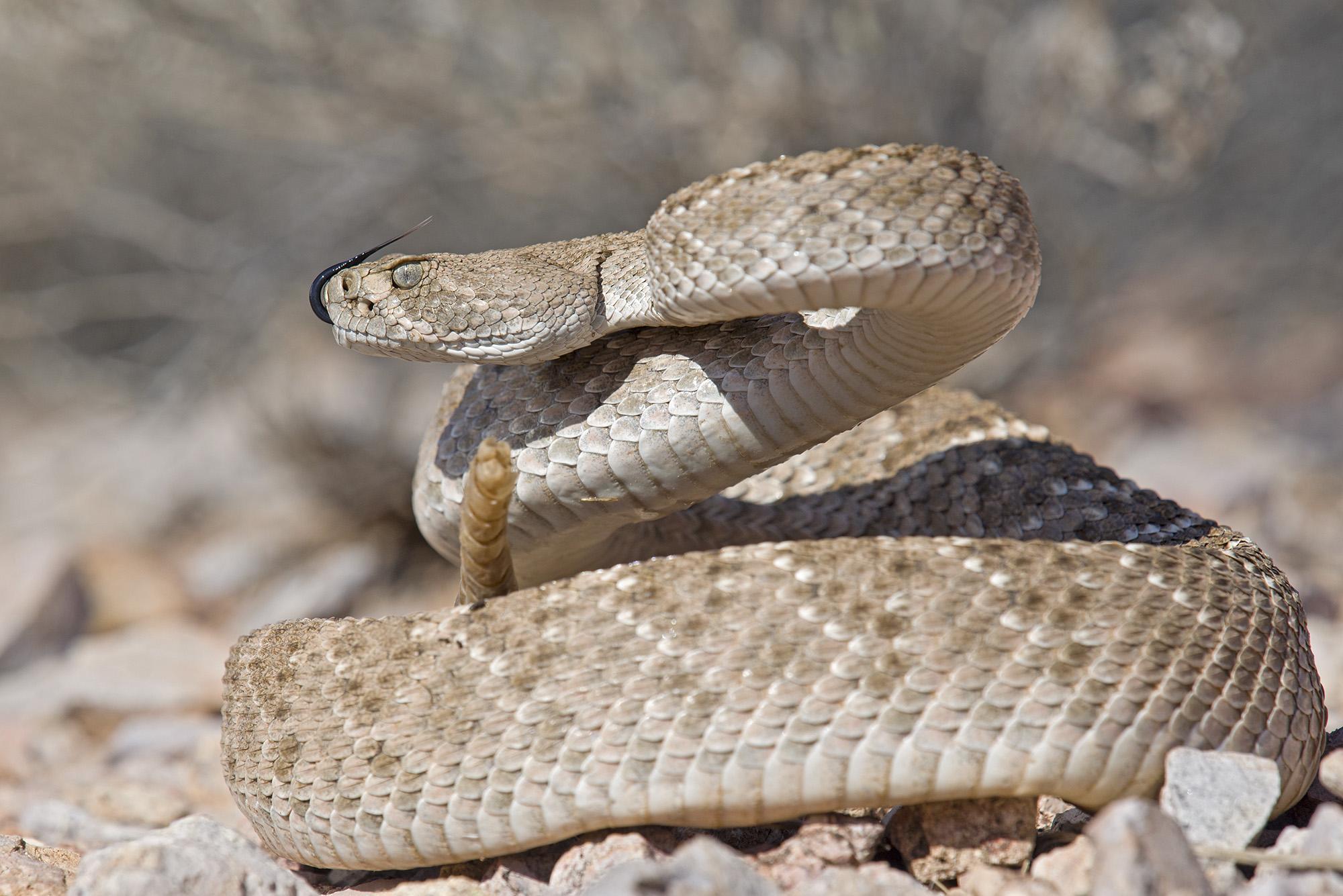 Crotalus atrox, Arizona...
