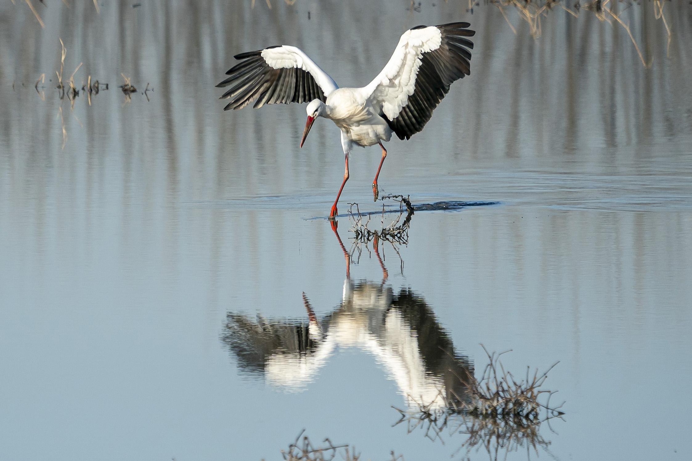 Stork on landing...