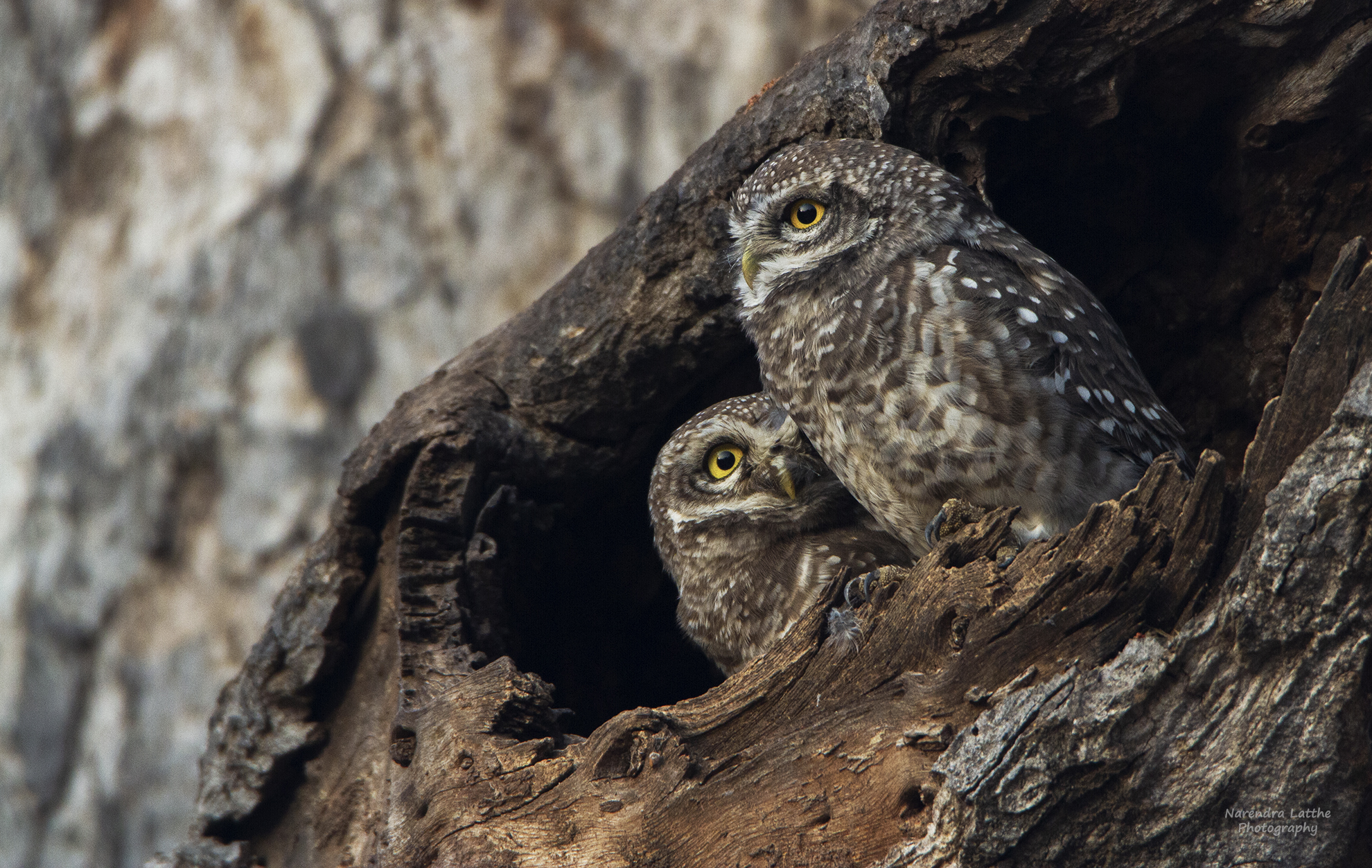 Spotted Owlet Pair...