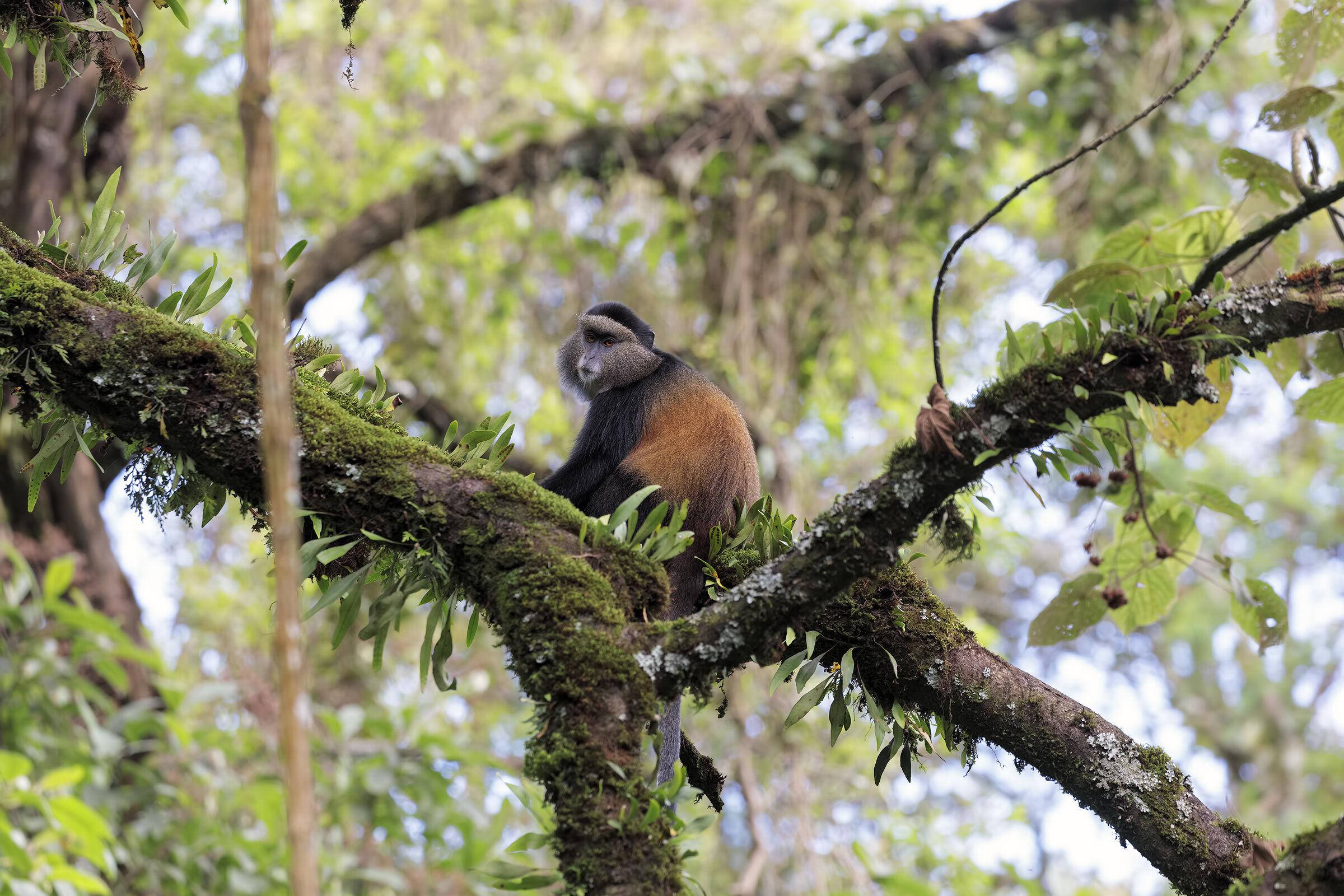 Golden Monkey, A...