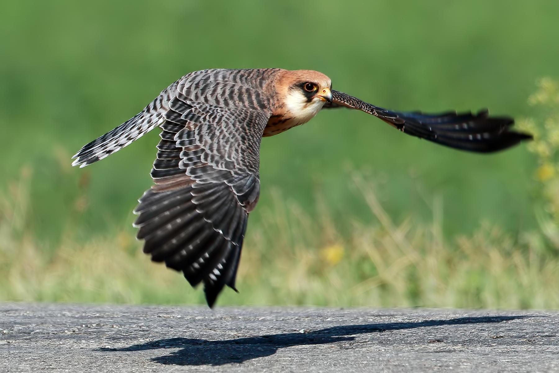 Very shaving flight... (adult female cuckoo falcon)...