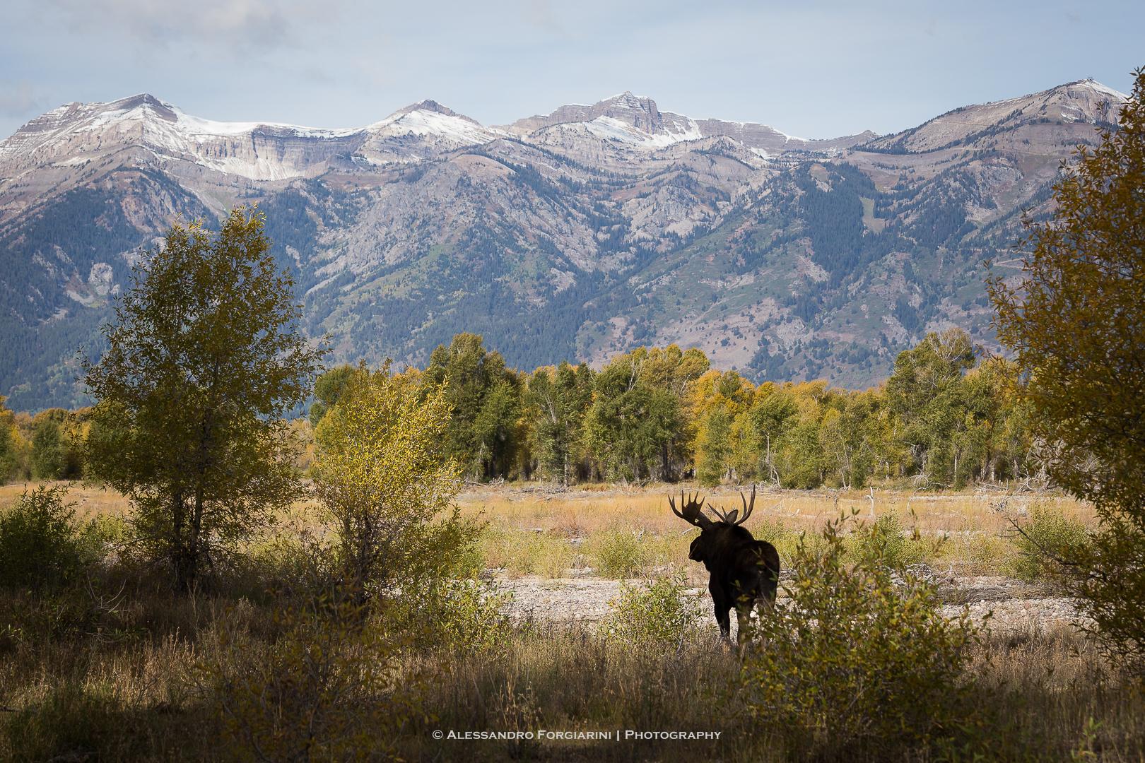 Moose...