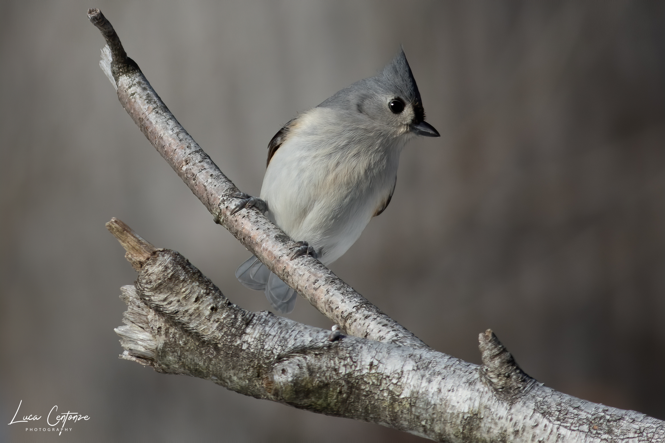 Tufted titmouse (Baeolophus bicolor)...