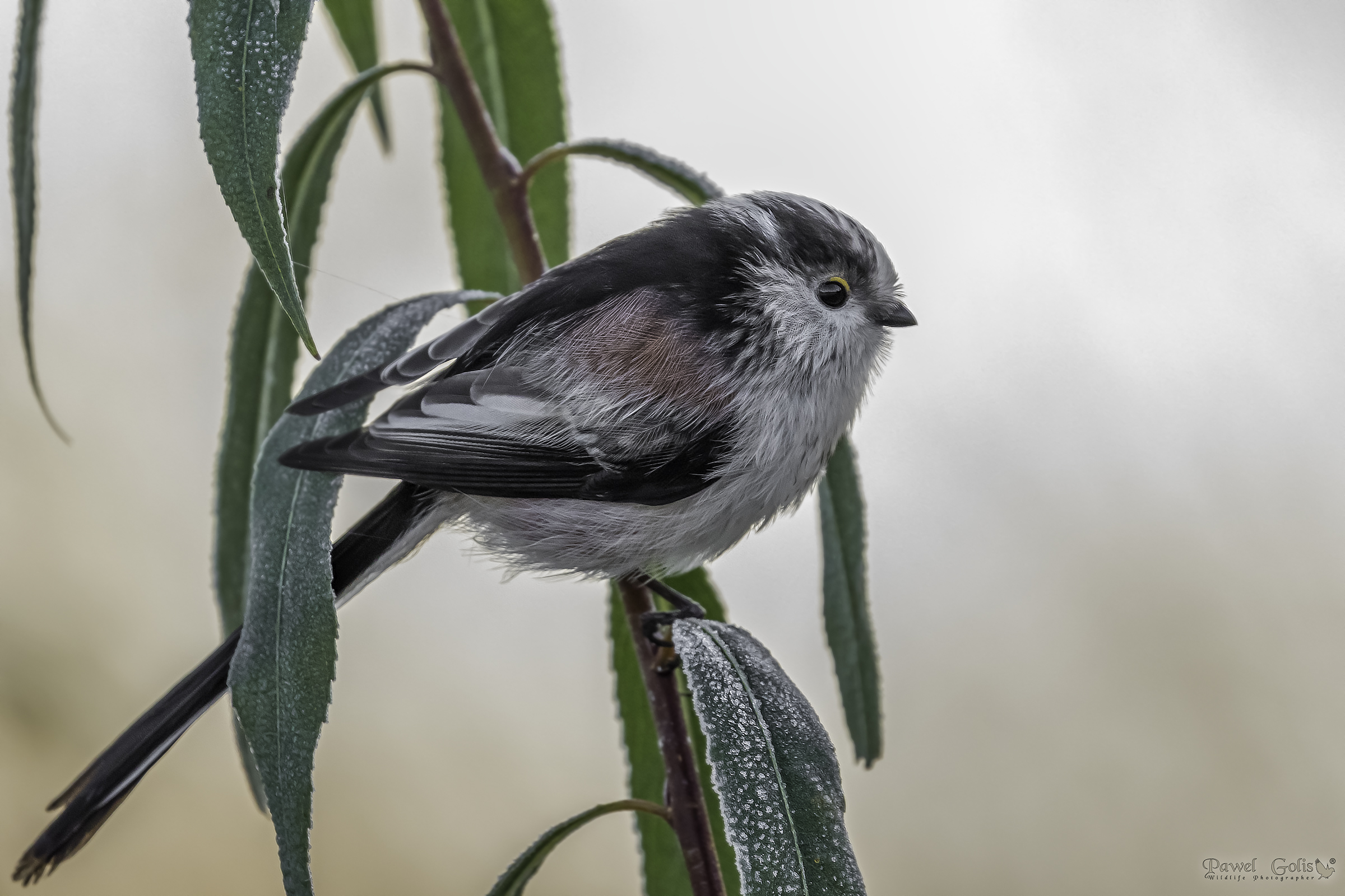 Long-tailed bushtit (Aegithalos caudatus)...