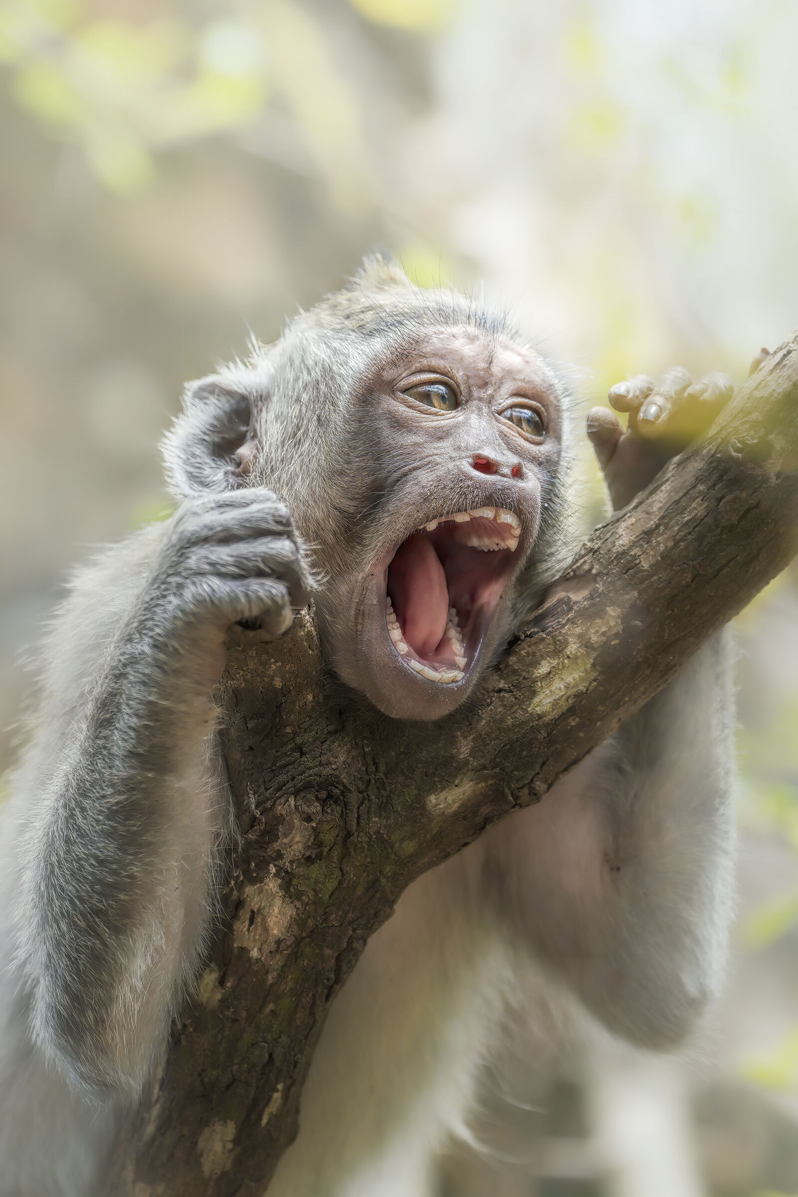 macaco...