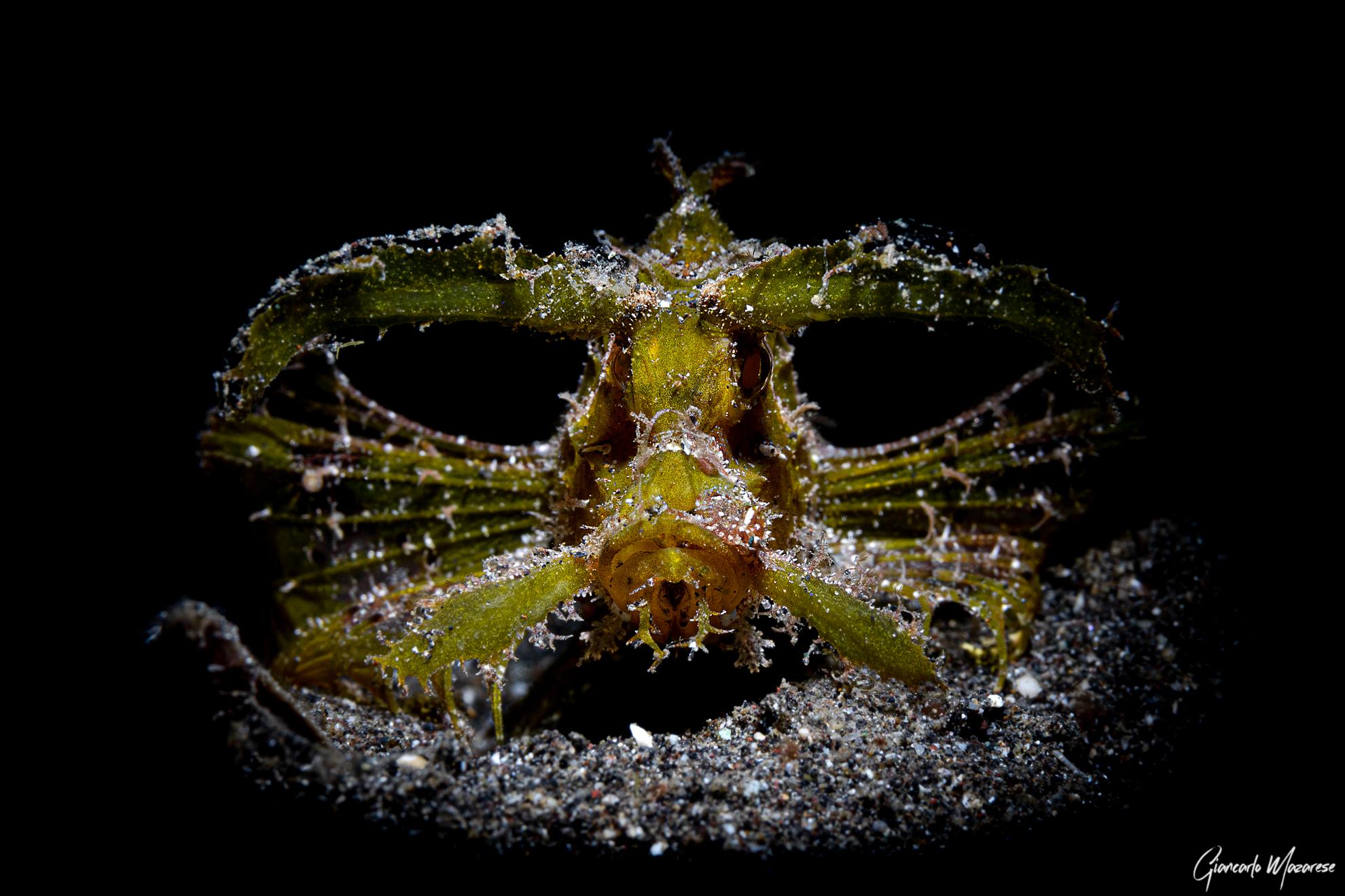 Pteroidichthys amboinensis...