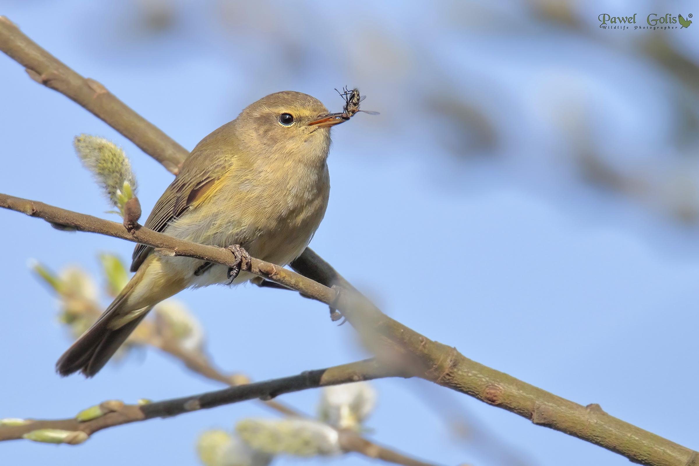 Willow warbler (Phylloscopus trochilus) ?...